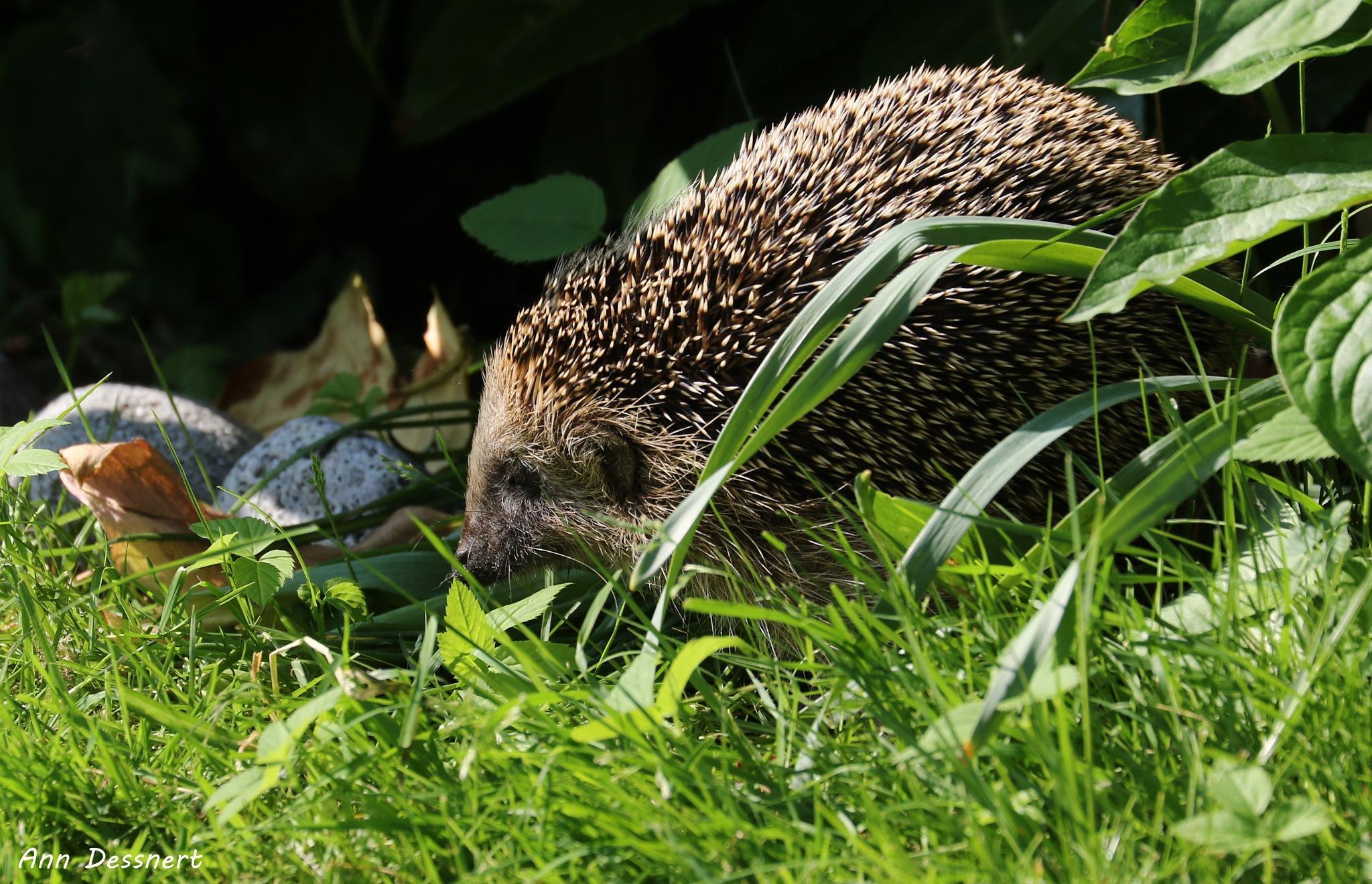 A hedgehog in my garden by AnnDessnert