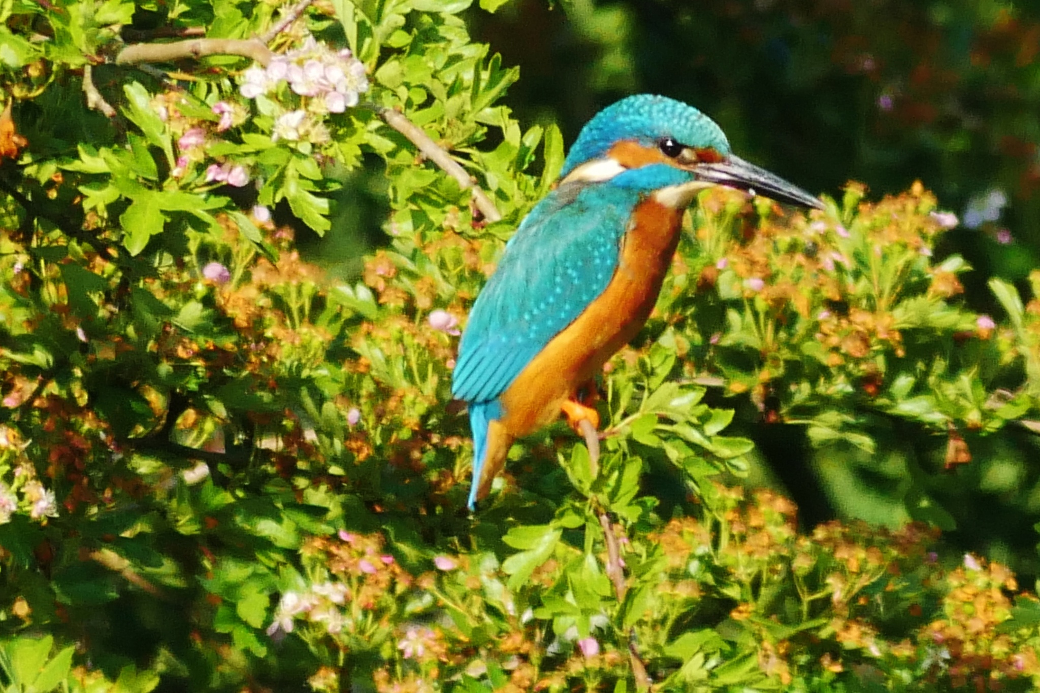 Photo in Nature #kingfisher #perch #tree #branch