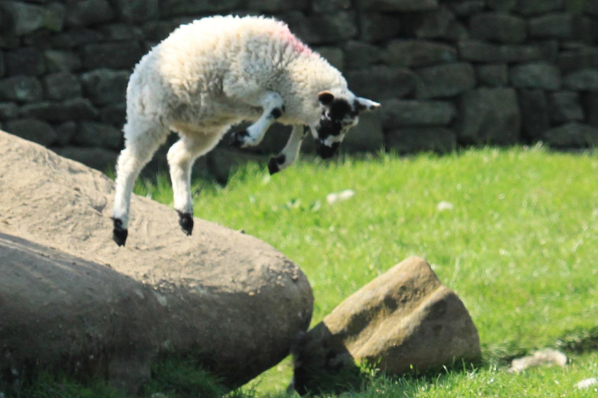 Leaping Lamb by AJ Yakstrangler Andy Jamieson