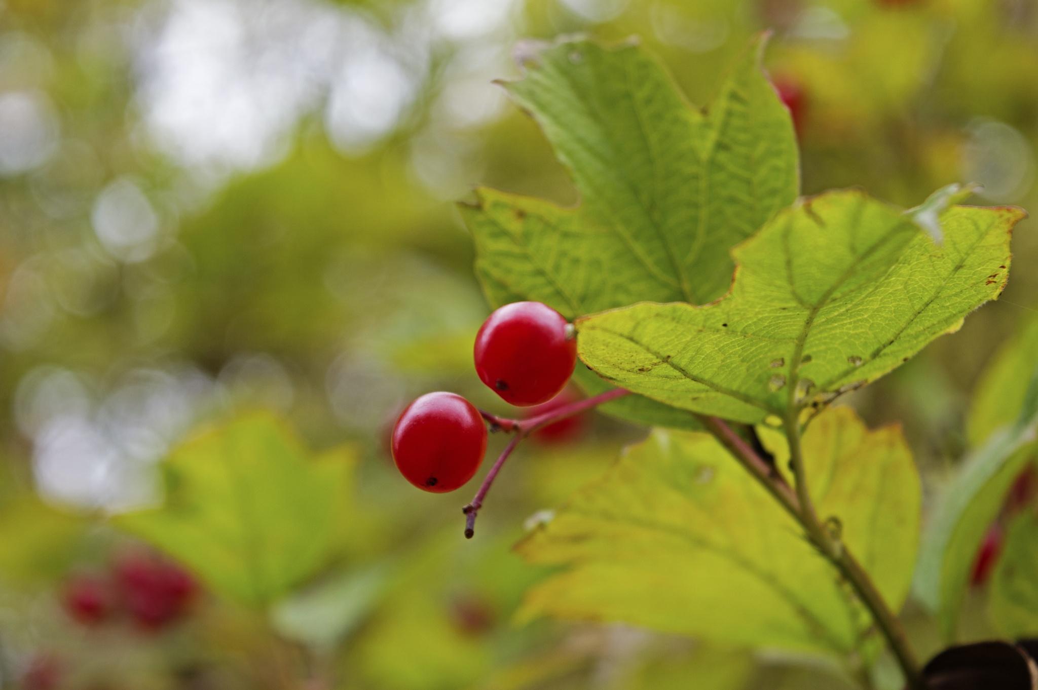 Red berries by Renars Sakals