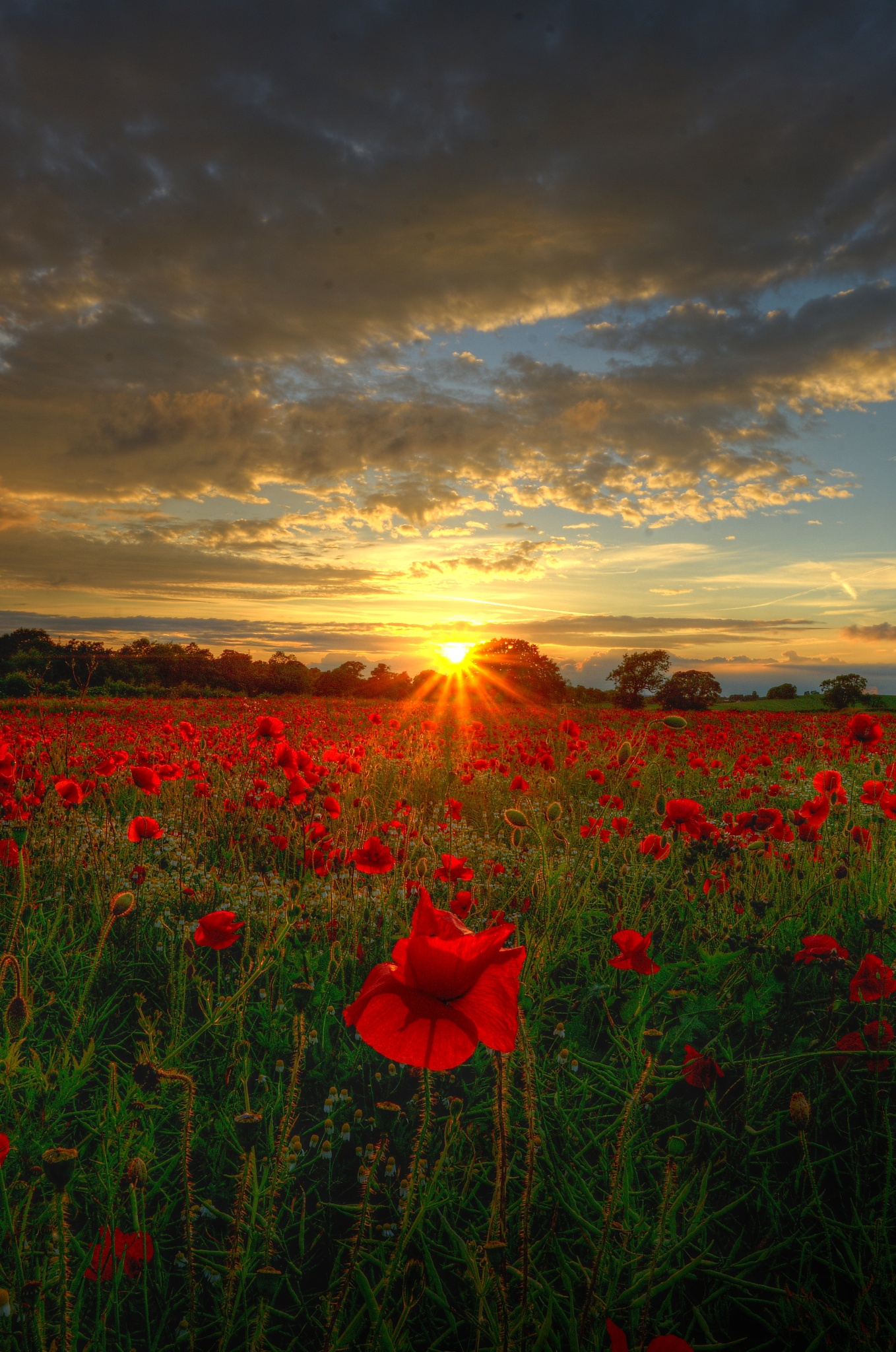 Poppy Sunset by hammarbytp