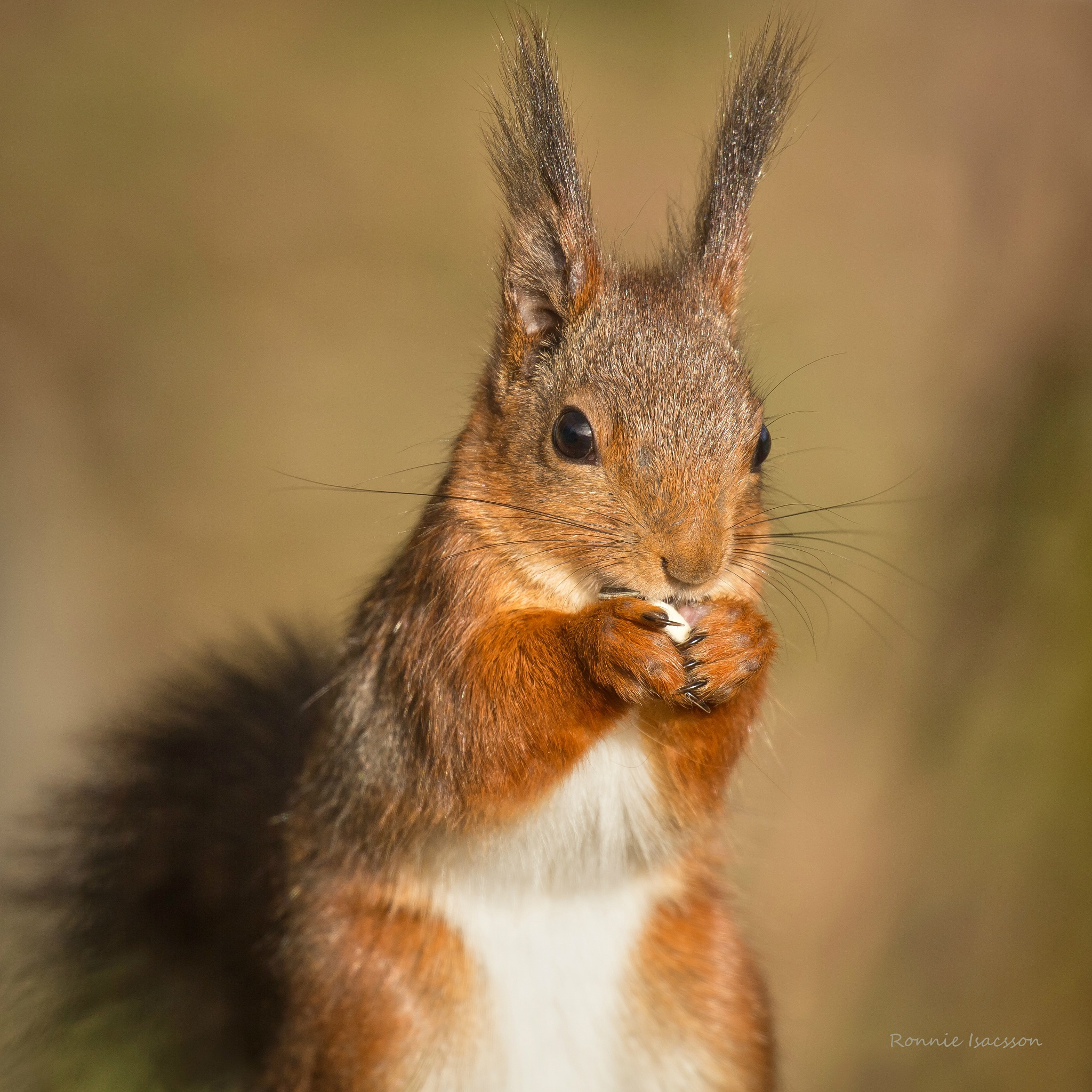 A Squirrel , just love them by ronnieisacsson11