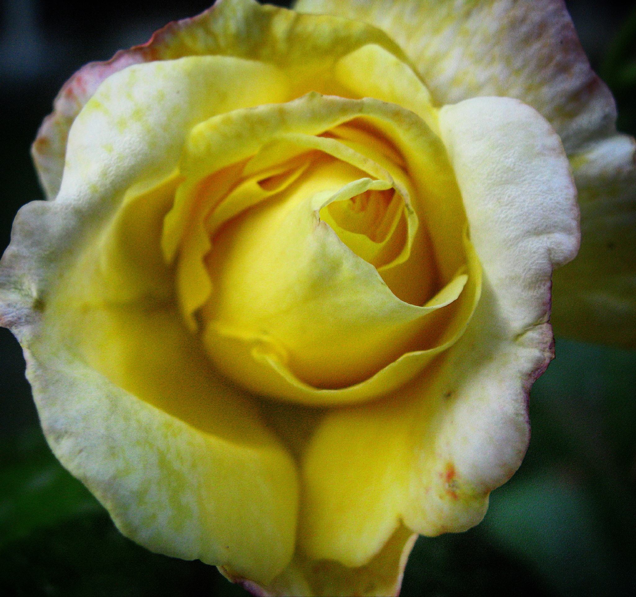 Yellow Rose by Lynnette Bolton