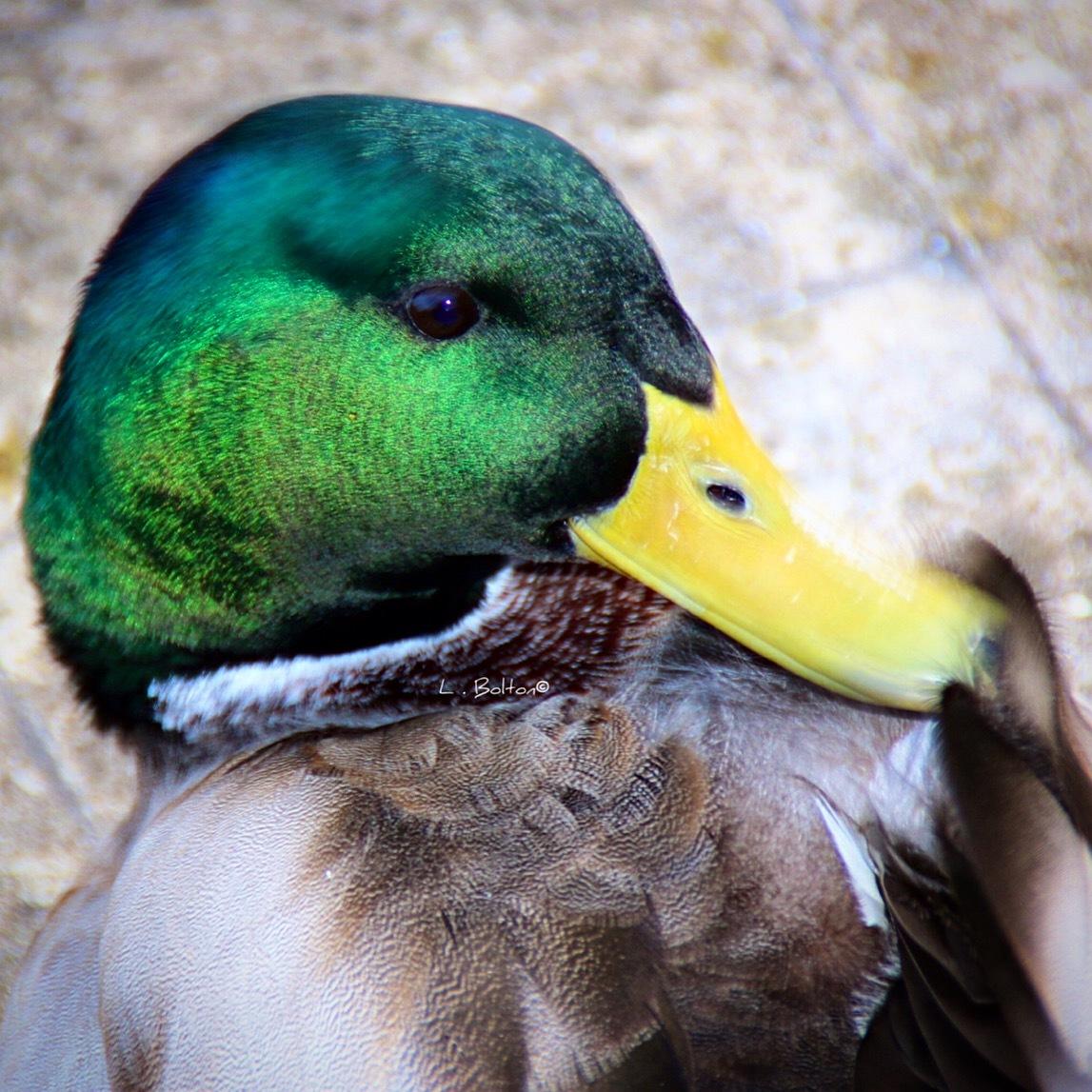 Duck Face by Lynnette Bolton
