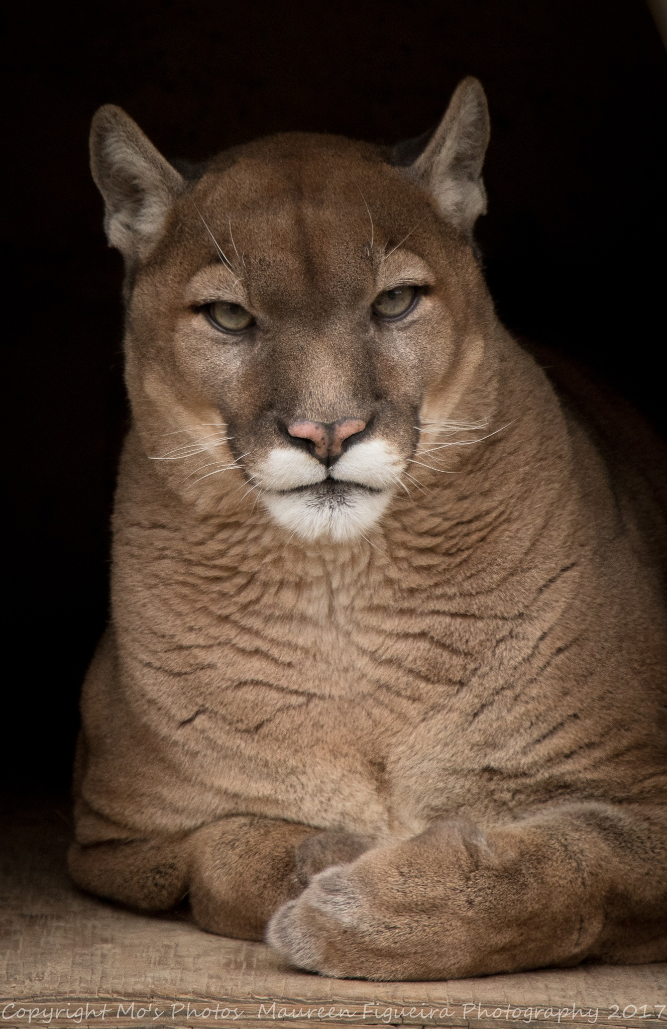 Handsome Cougar by mofigueira
