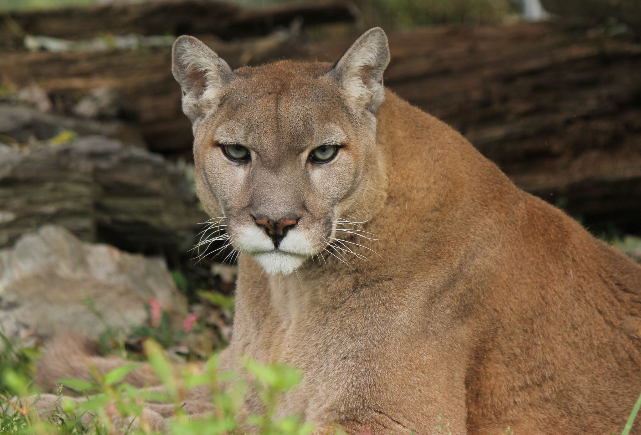 Cougar by mofigueira