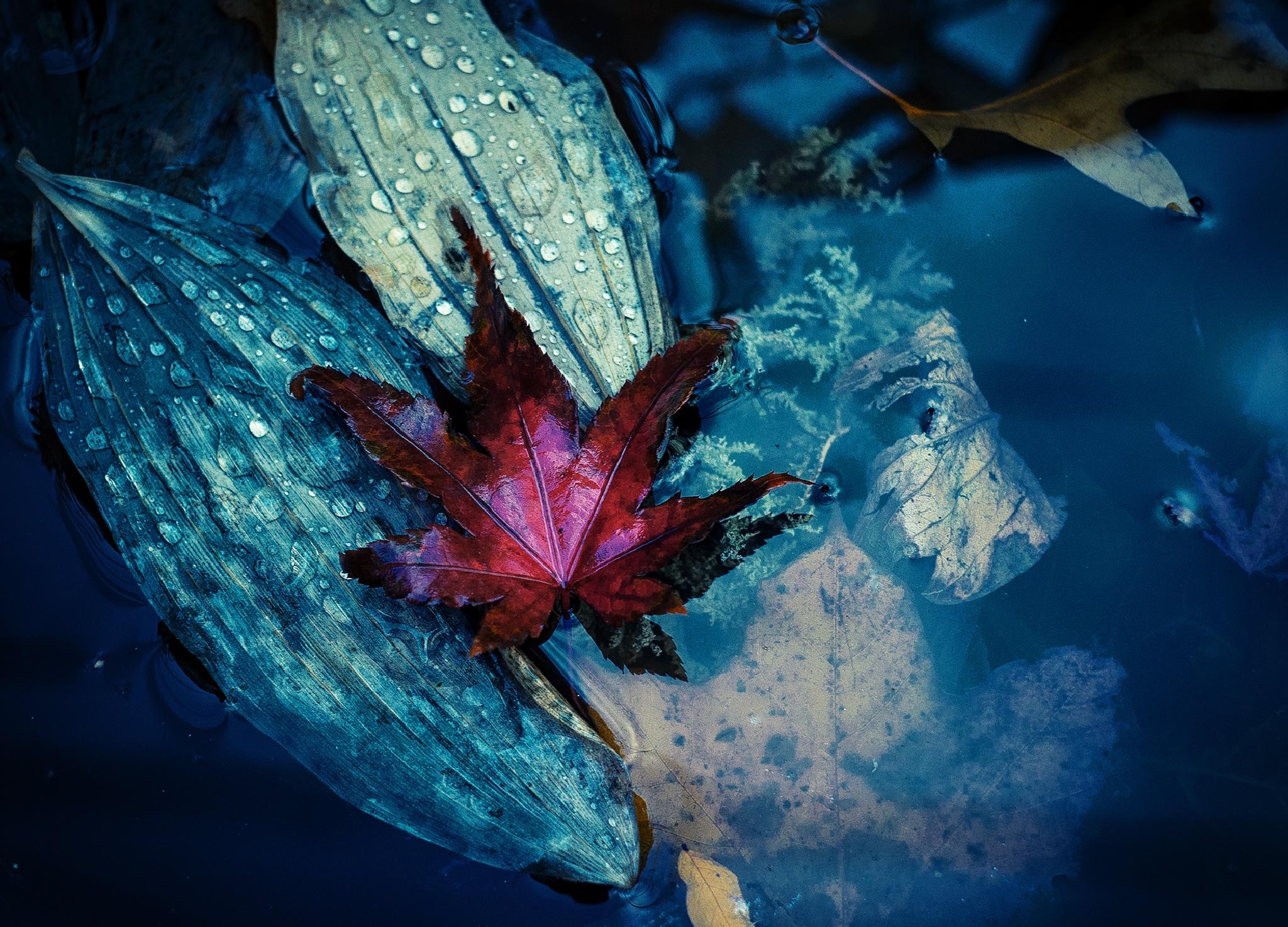Red Leaf by JackNobre