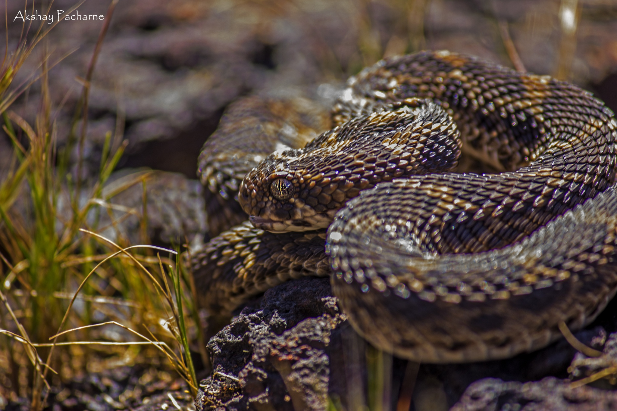 The Lateritic Scales - The Saw-scaled Viper!!! by Akshay Pacharne