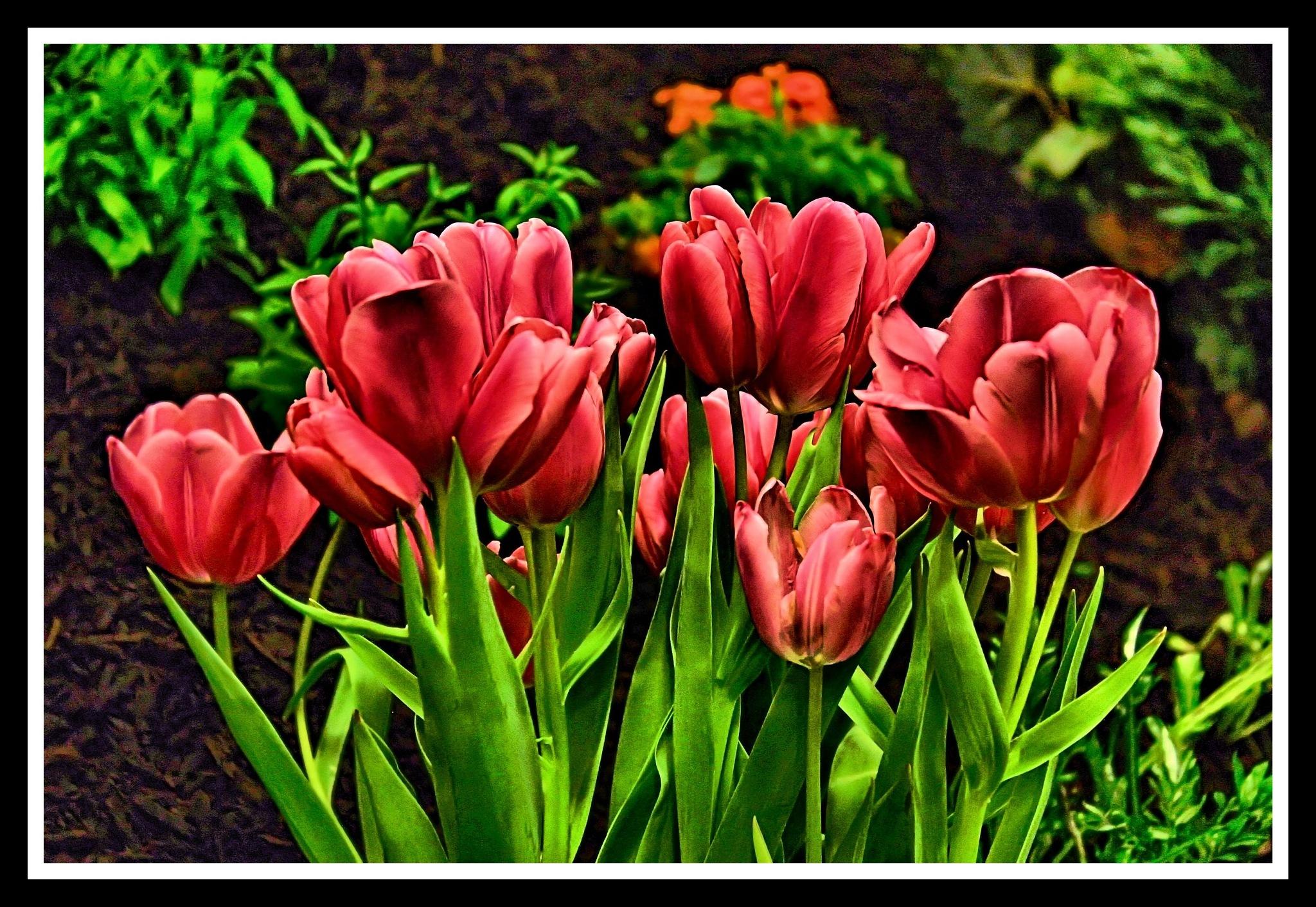 Tulip Bed by Daniel J. Ruggiero