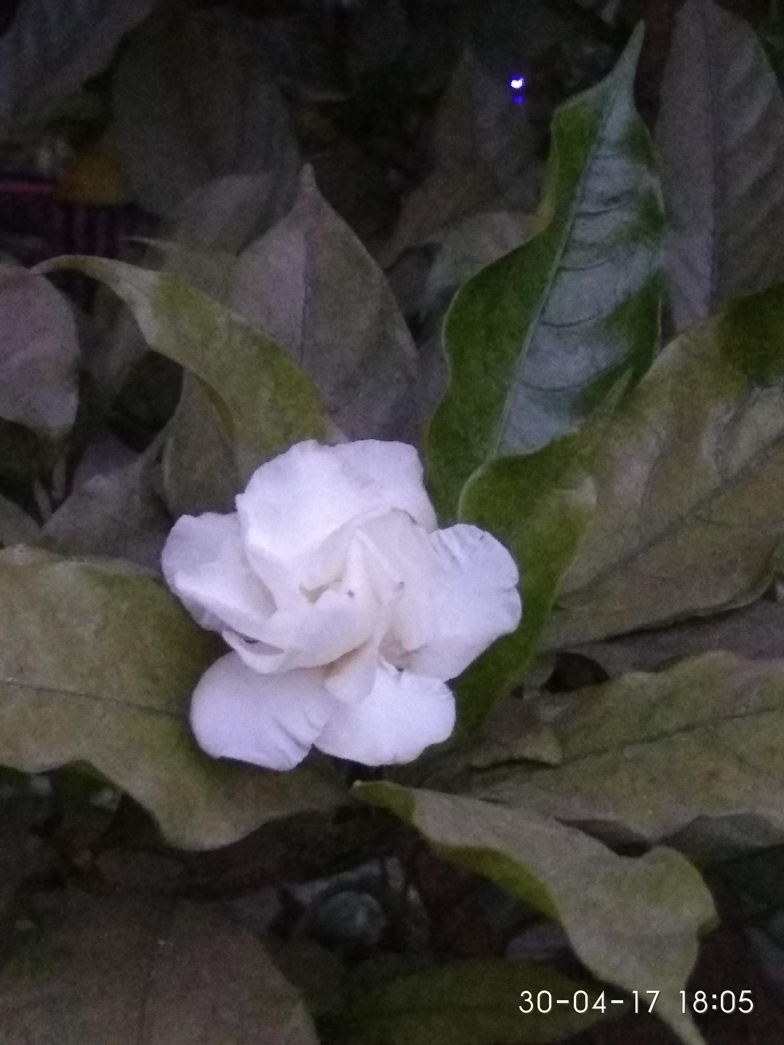 White Flower by Dibyendu Chatterjii