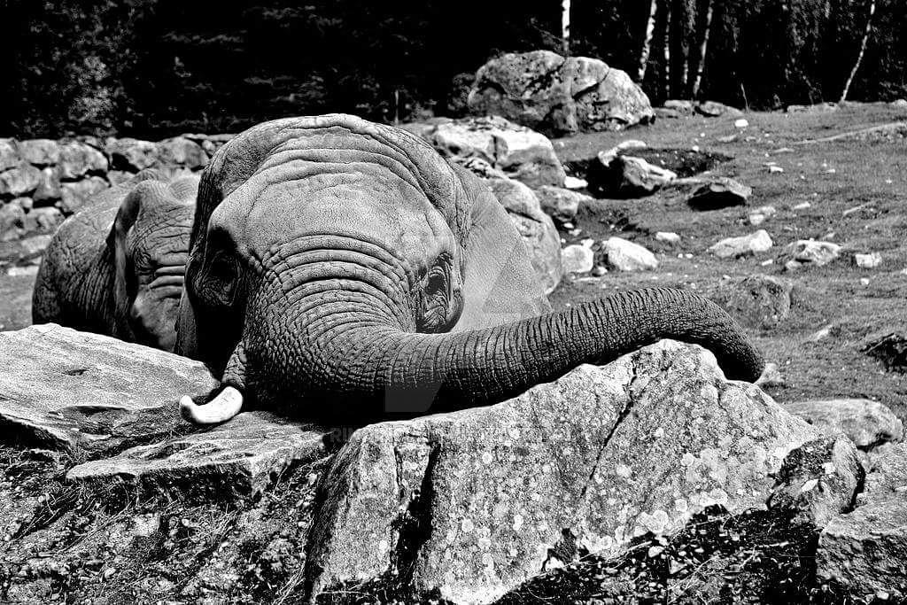 Charming elephant black and white by AllShapesOfArt