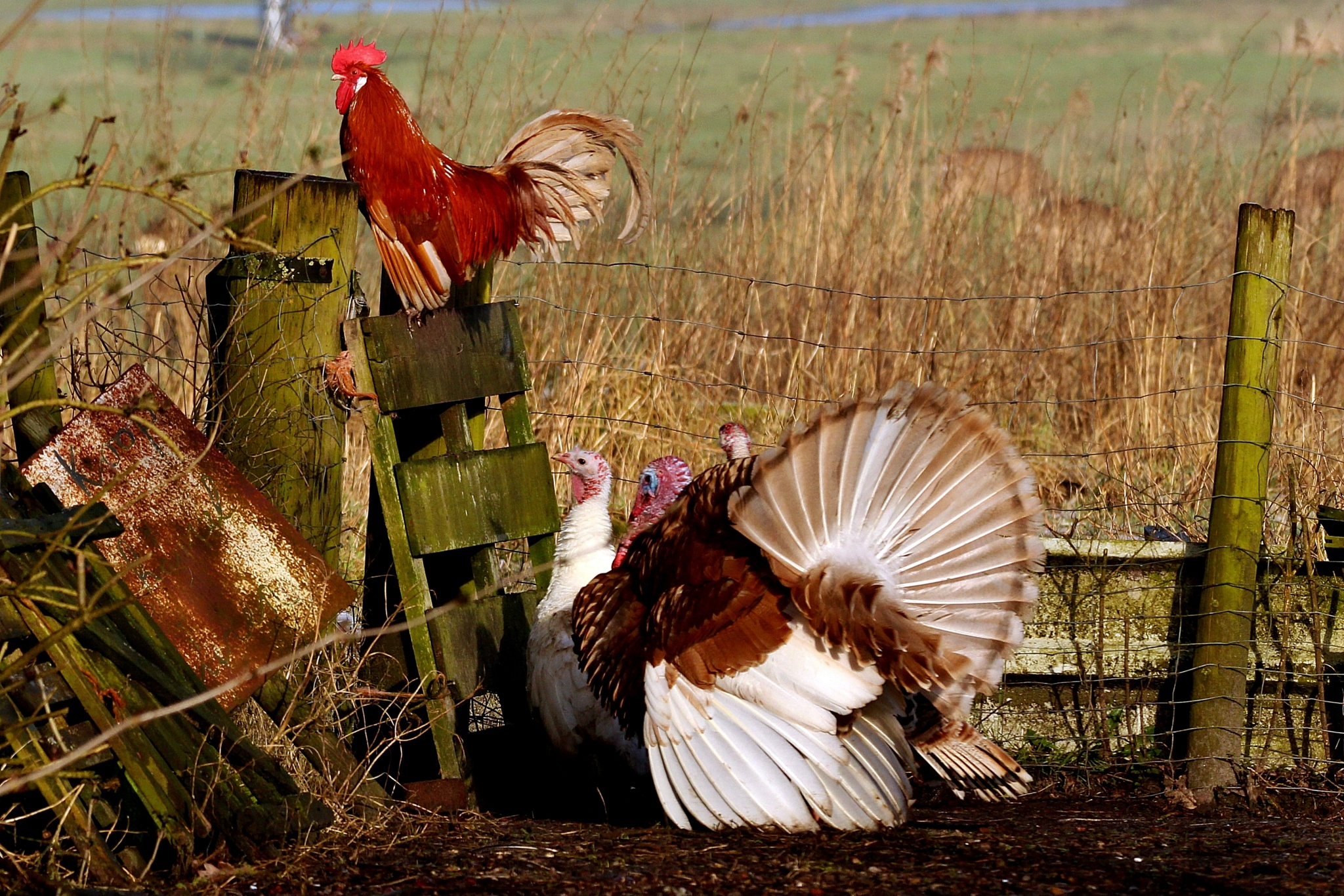 Little red rooster by aafje