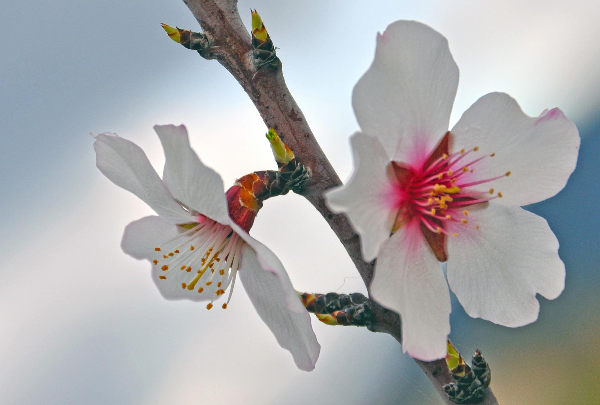 Almendros en flor by msalvadormunoz