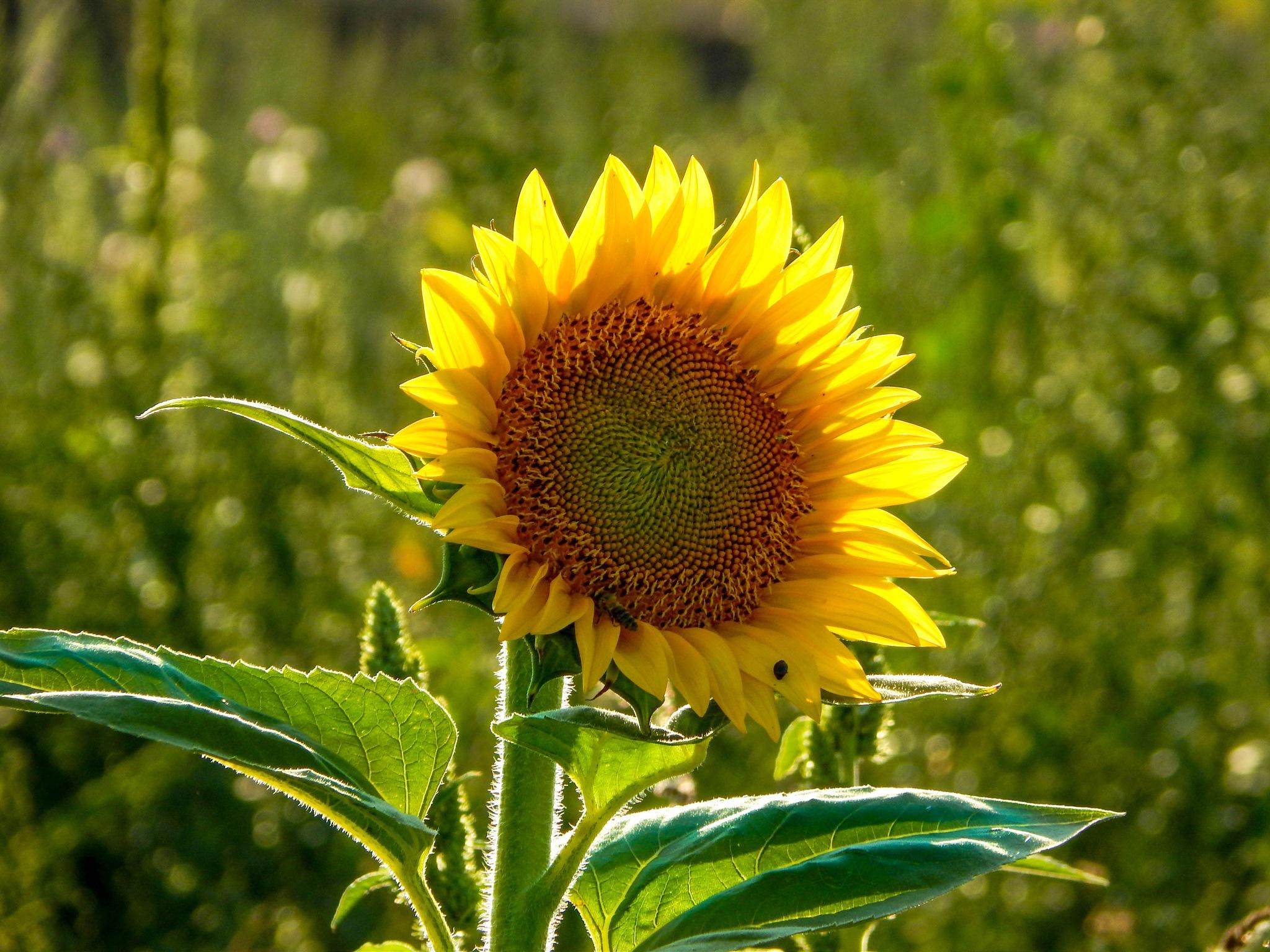 Sunflower by Balazs Kosaras