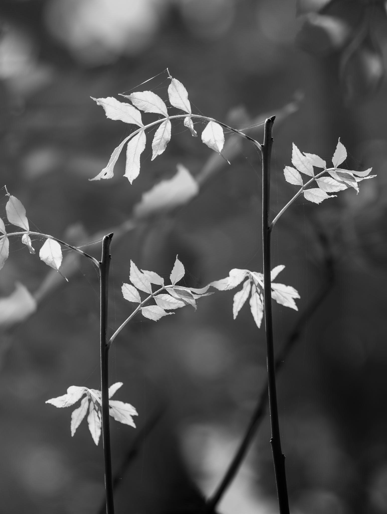 Kissing - leaf study by David Hawkes