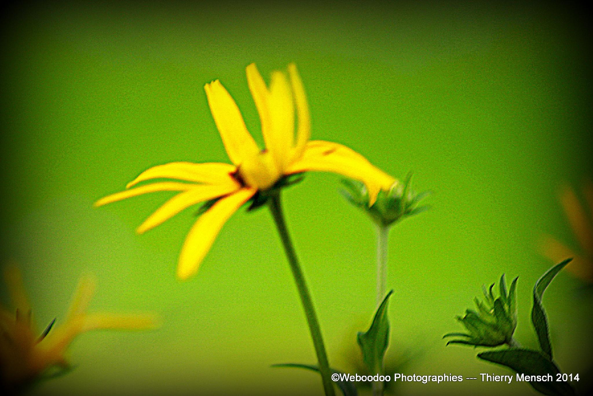 Fleur jaune by Weboodoo Photographies