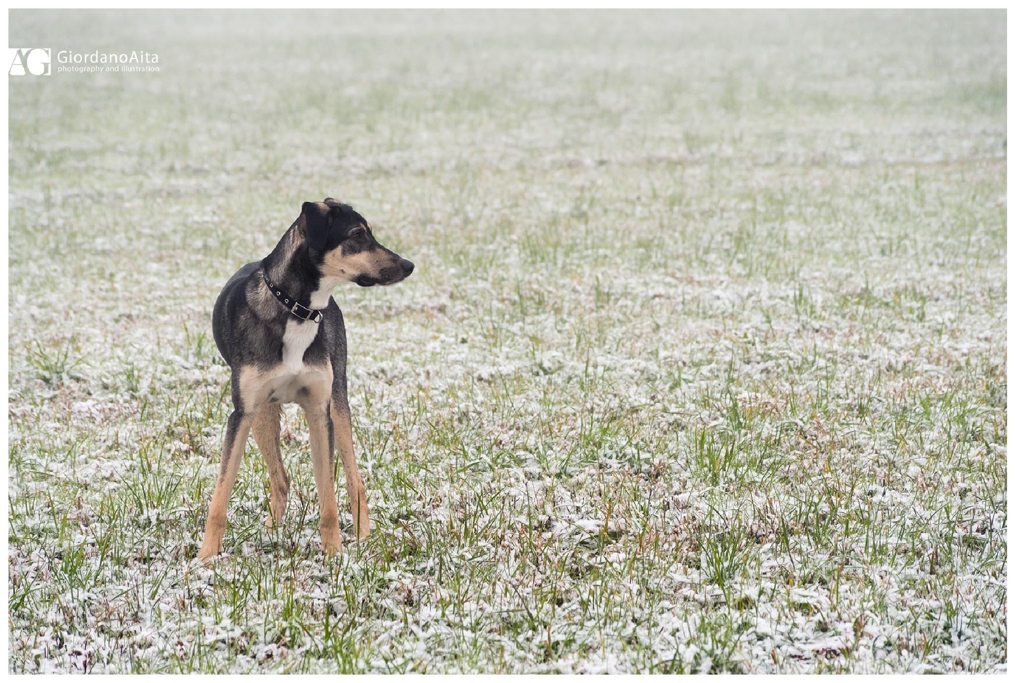 Dog in a snowy field by GiordanoAita