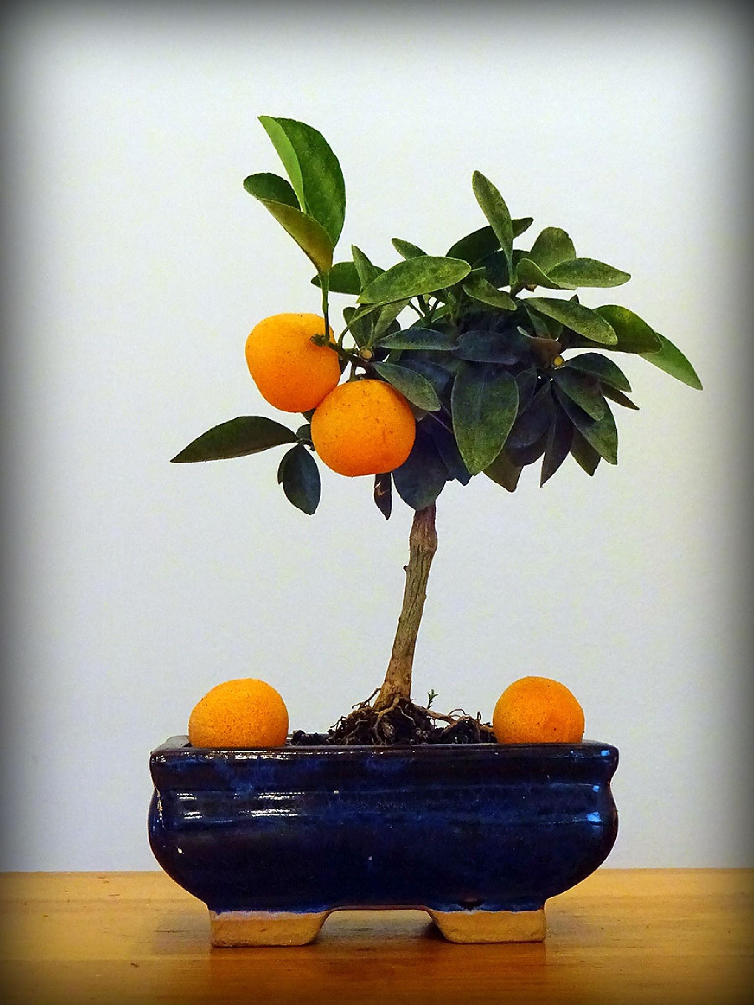 orange tree bonsai by Dundie