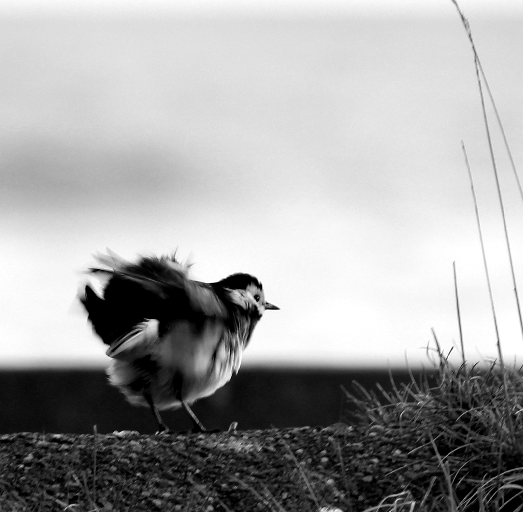 Fluffy wagtail by Marf