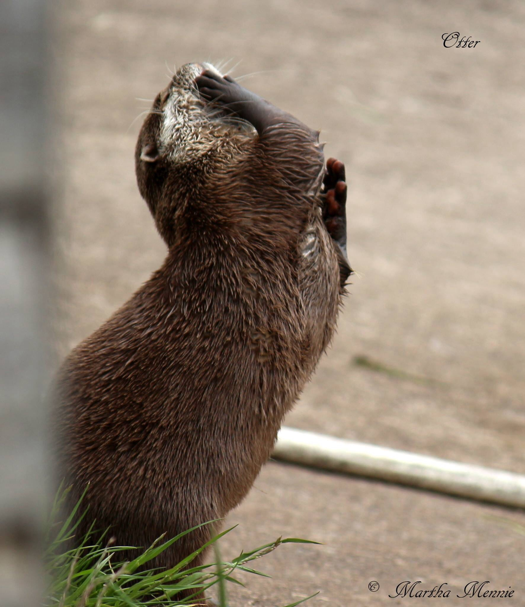 Otter by Marf