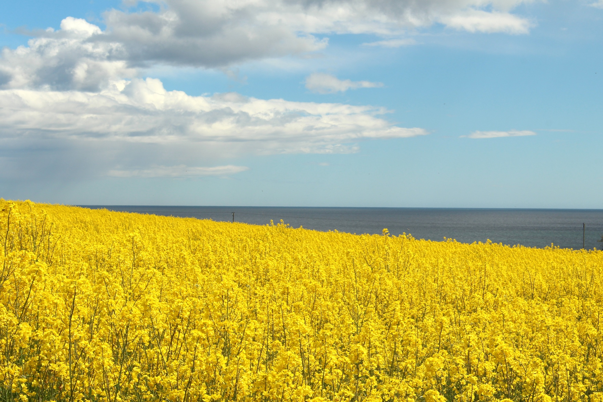 Rapeseed by Marf