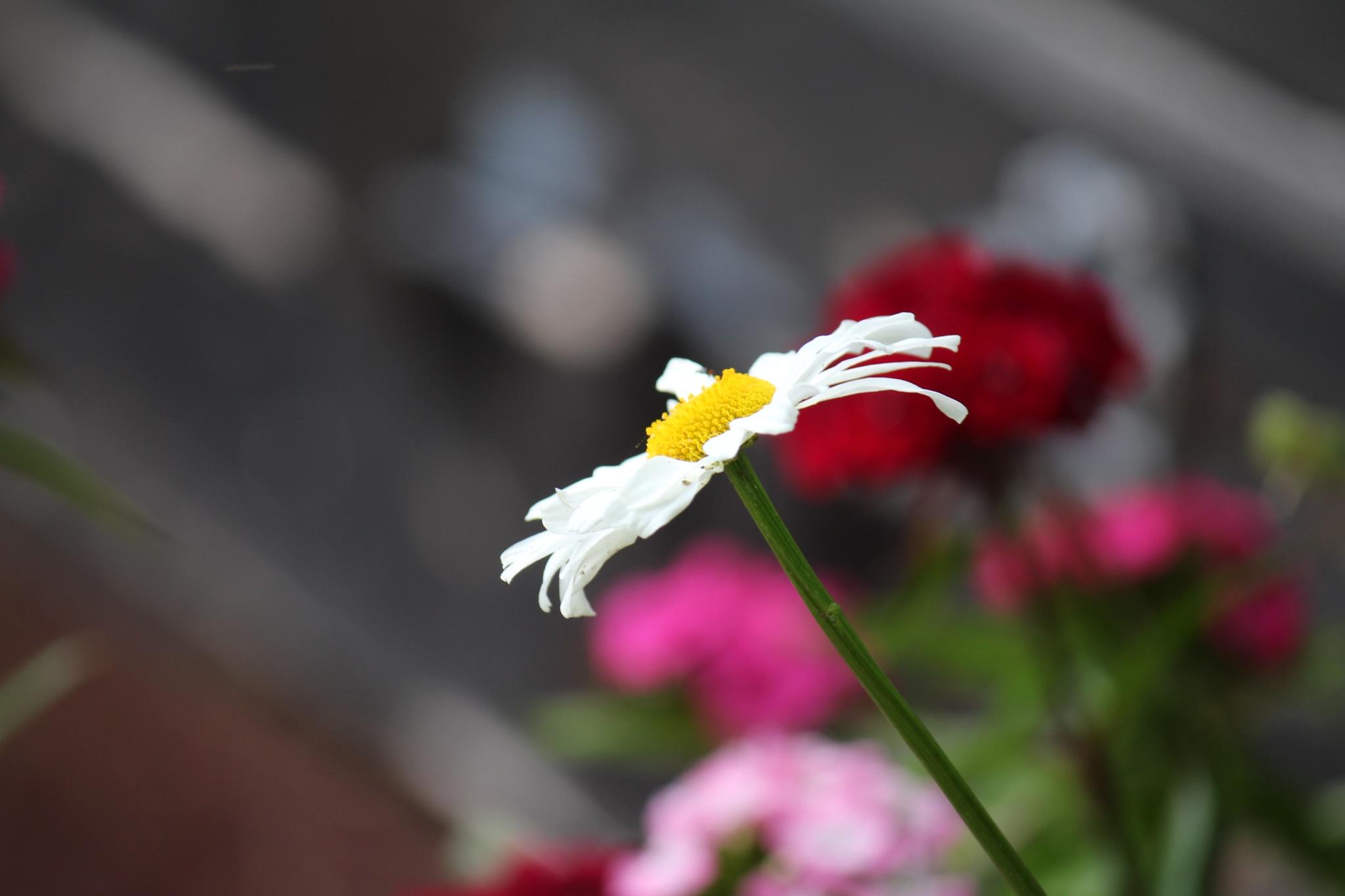 Daisy  by Marf
