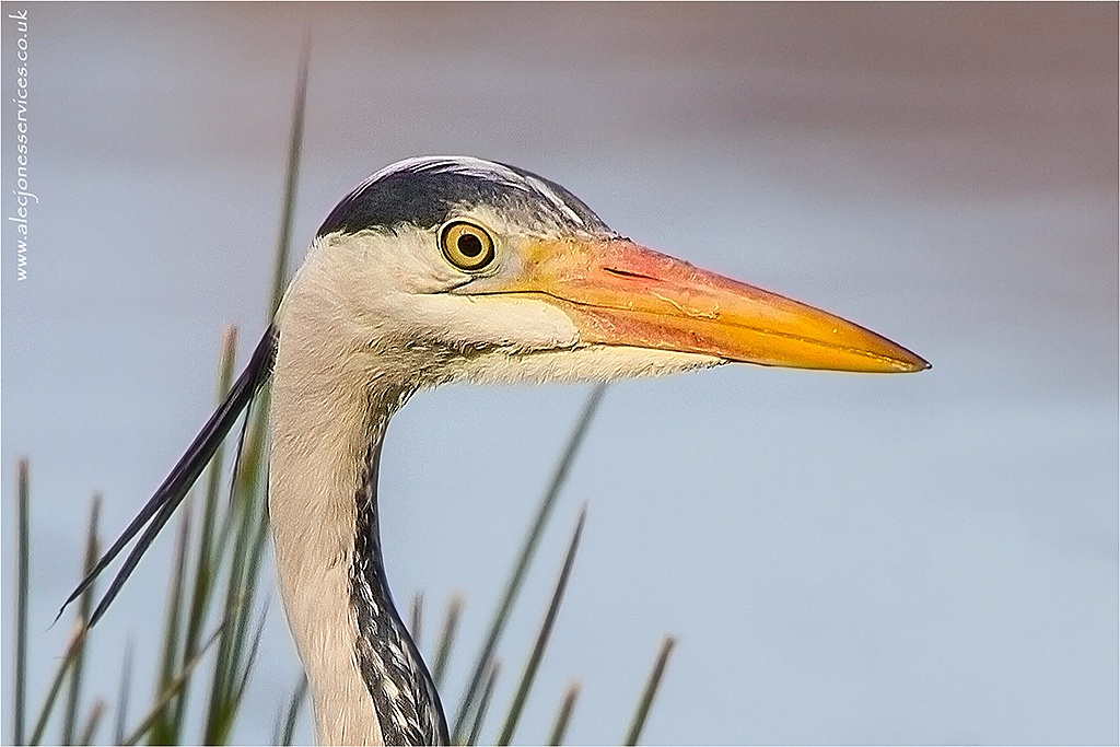 Photo in Animal #heron #gateshead #wildlife #hunting #closeup