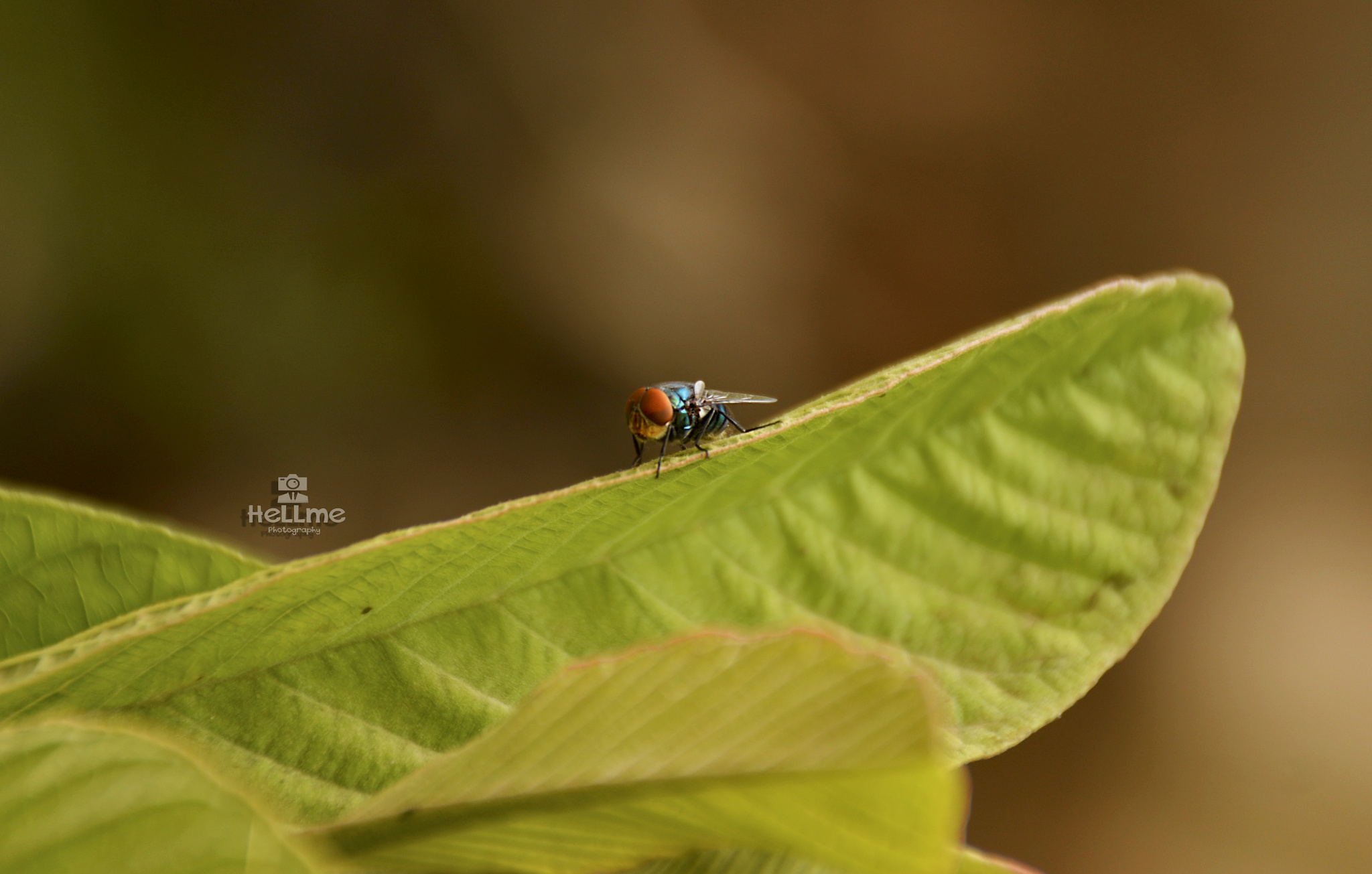 Blue Fly by M.HeLLme