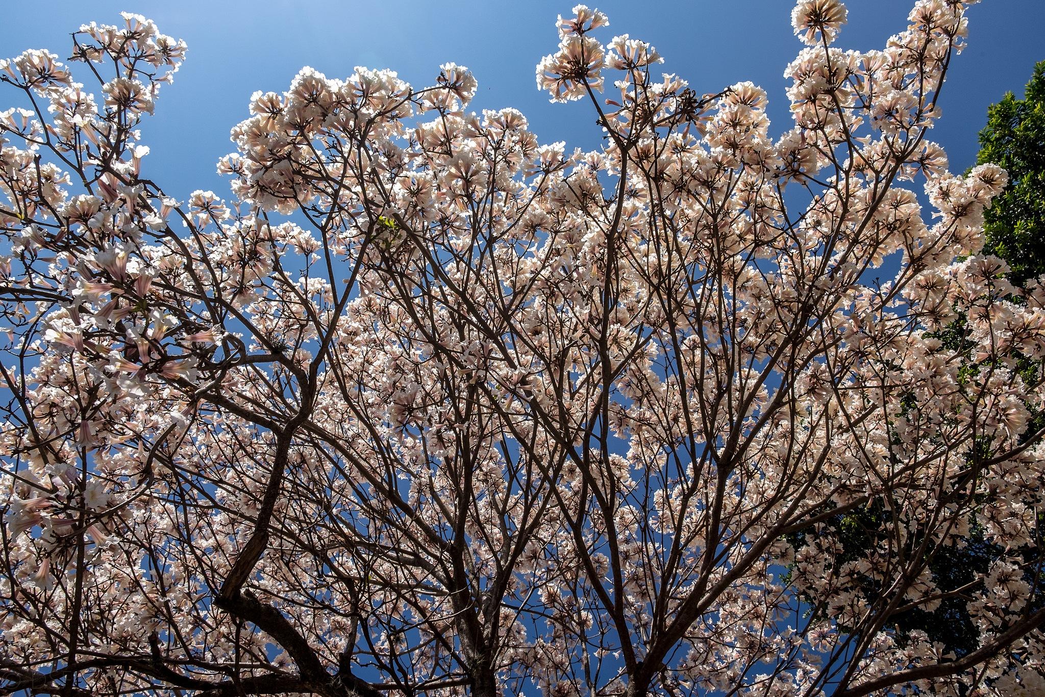 White Ipê blossom by Doris Fontes