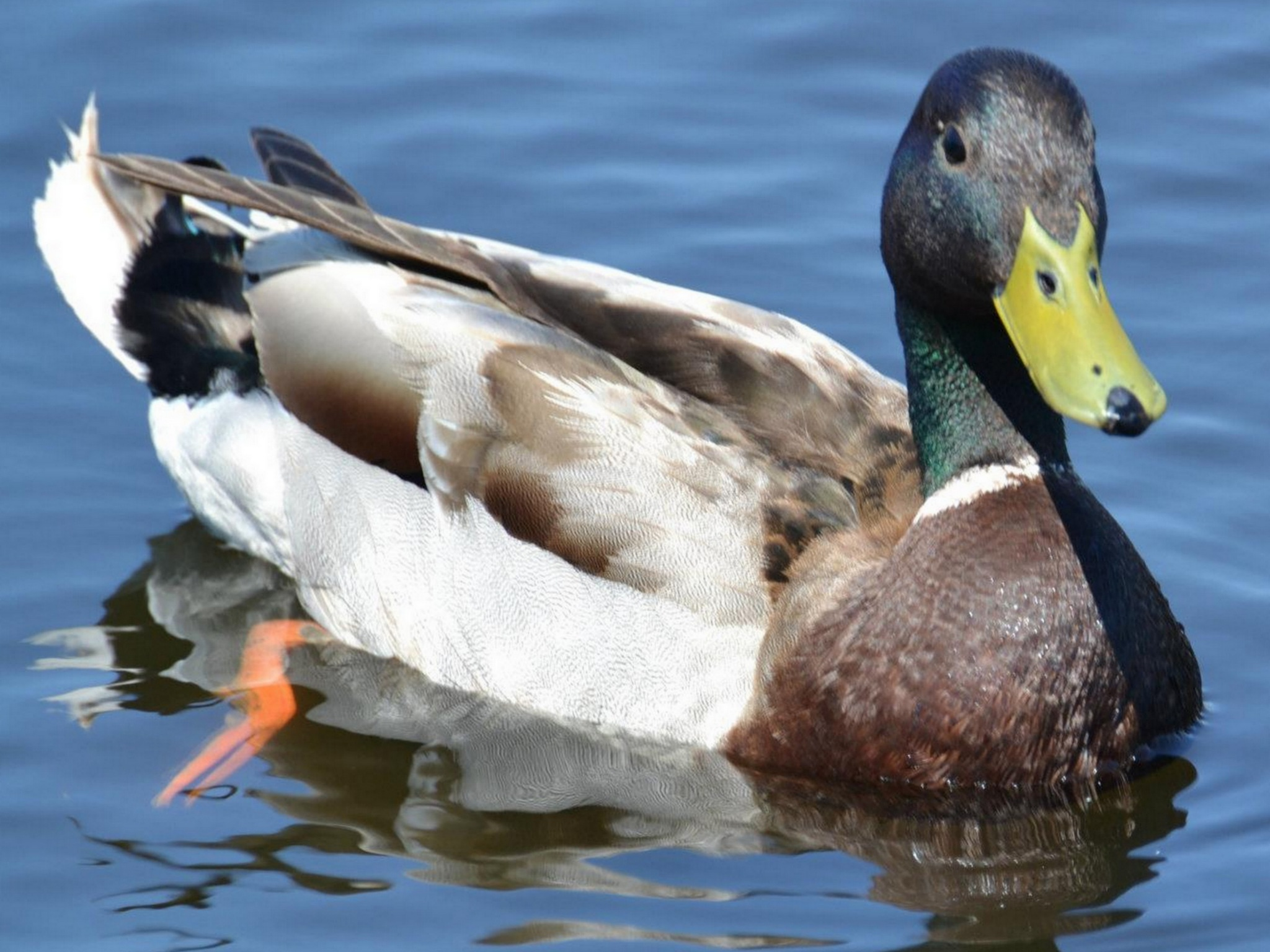 Duck by ilseBodewes