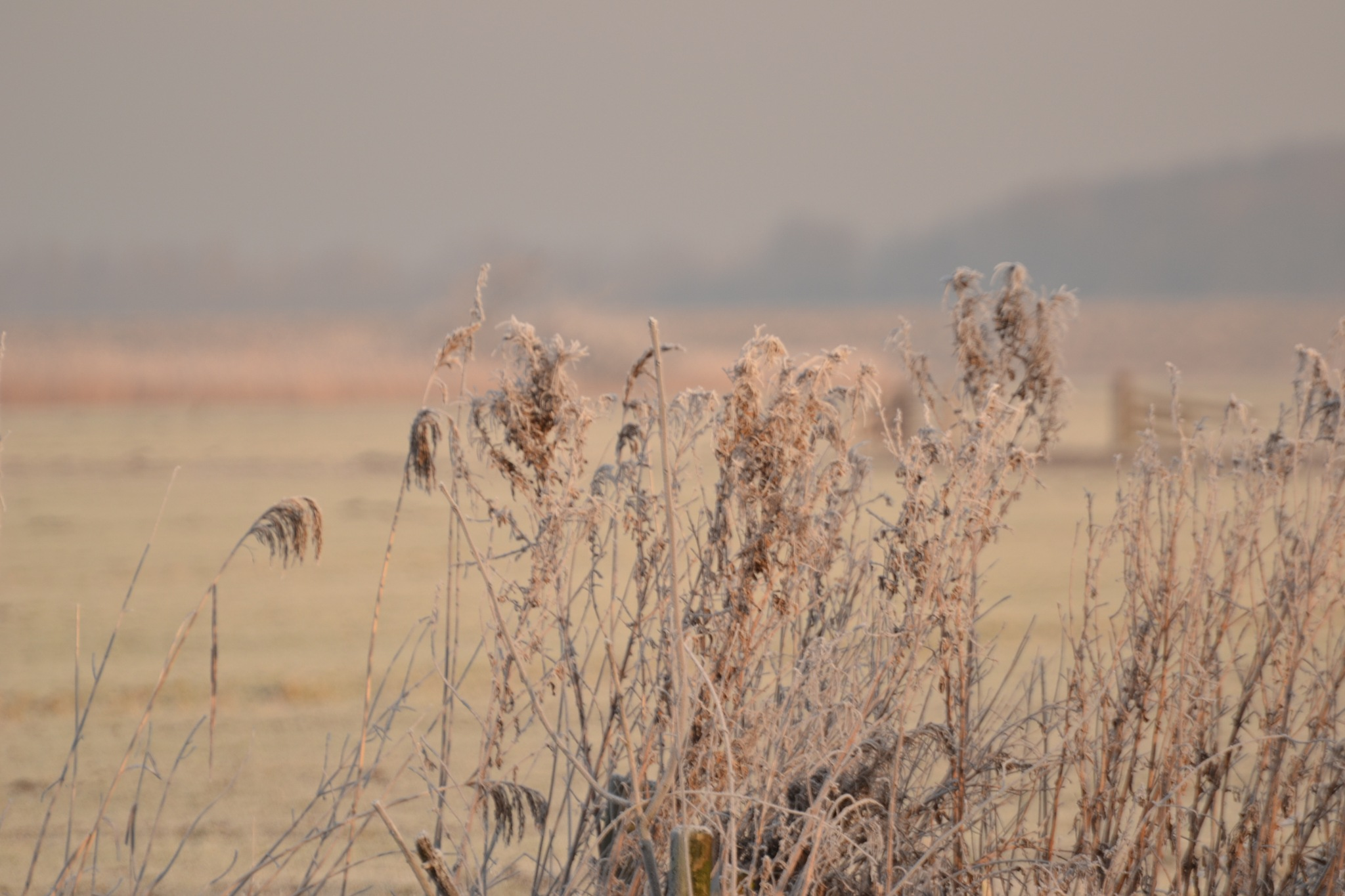 Reed by ilseBodewes