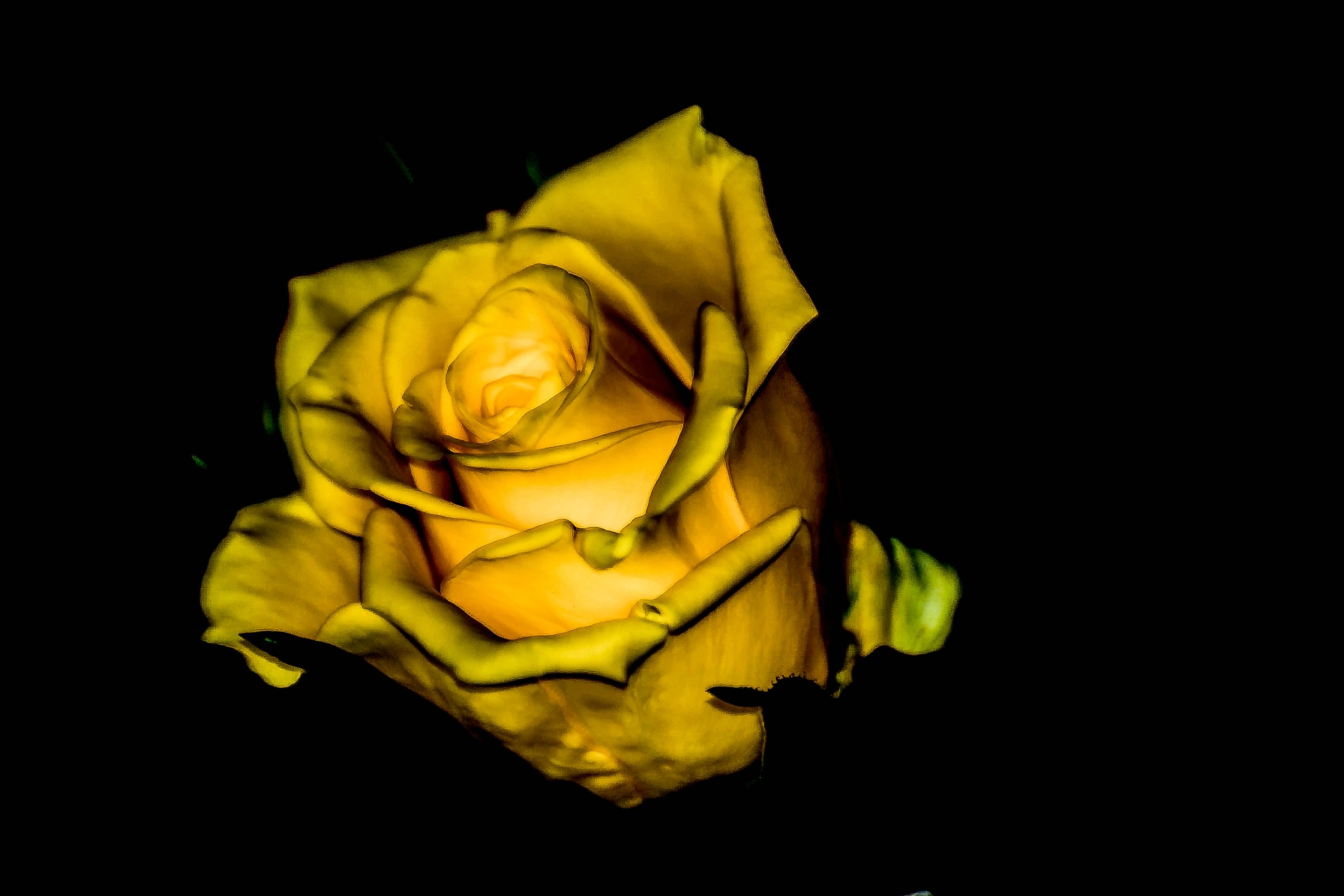 Yellow Rose by ilseBodewes