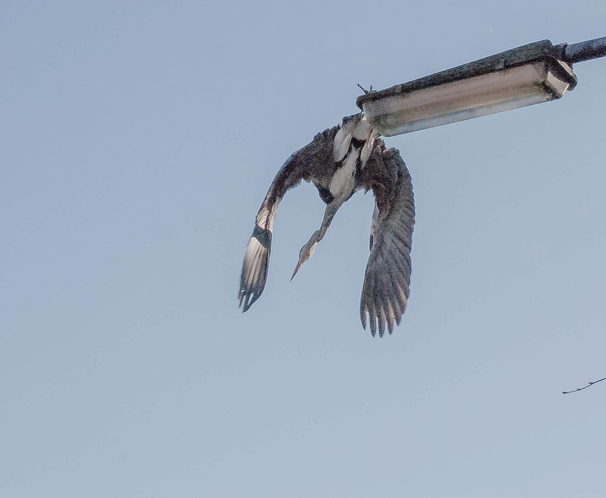 Heron by ilseBodewes