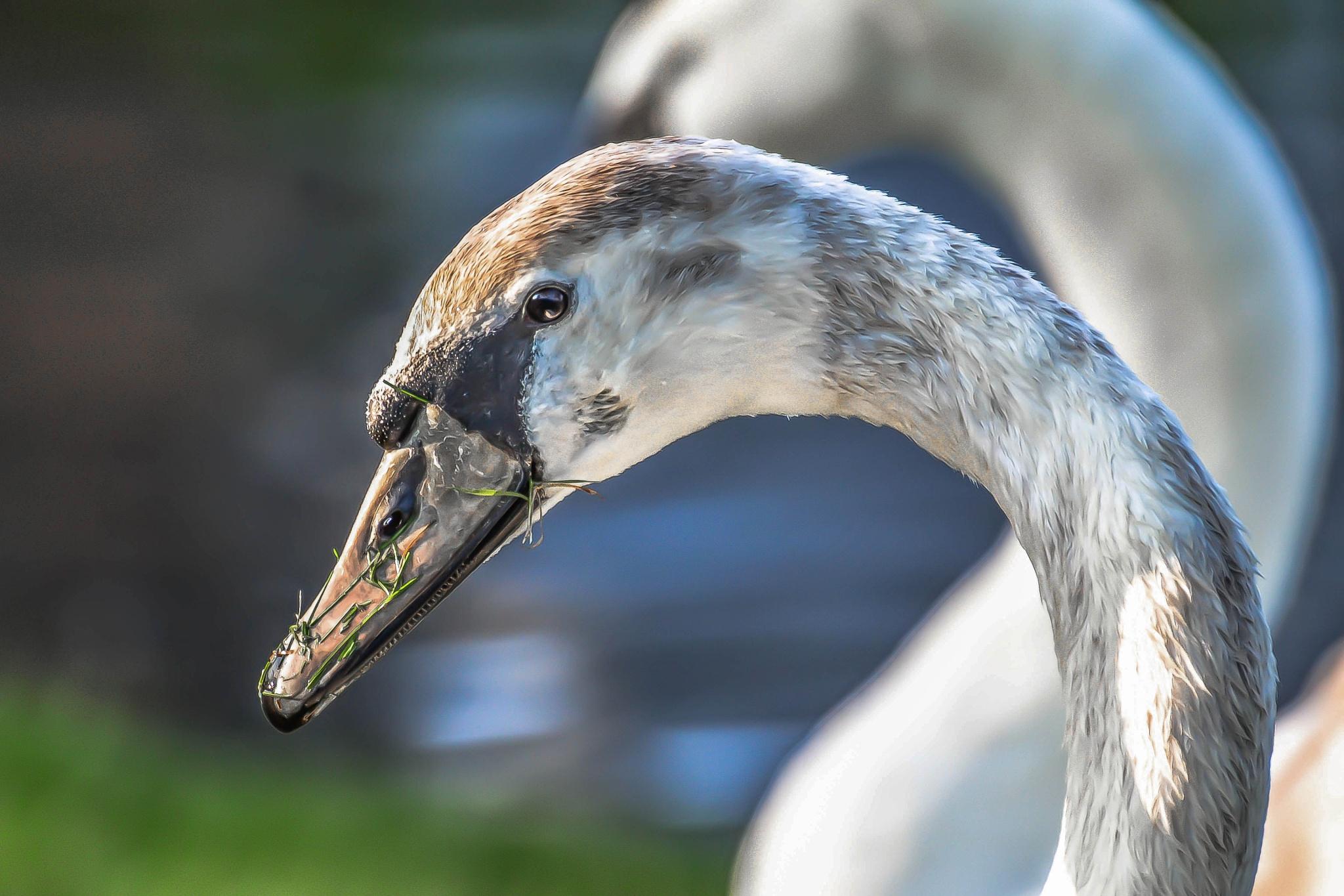 Swan by ilseBodewes