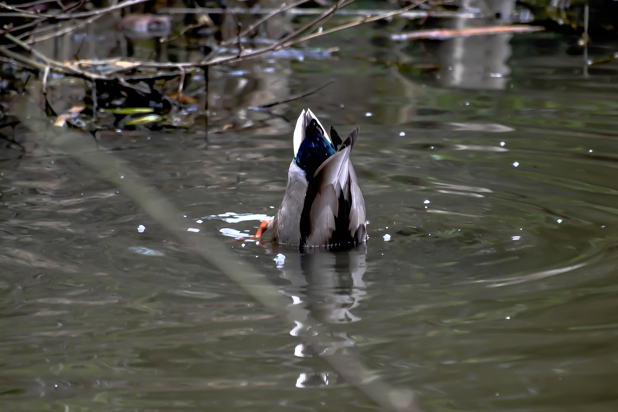 Reflextion, duck under water by ilseBodewes