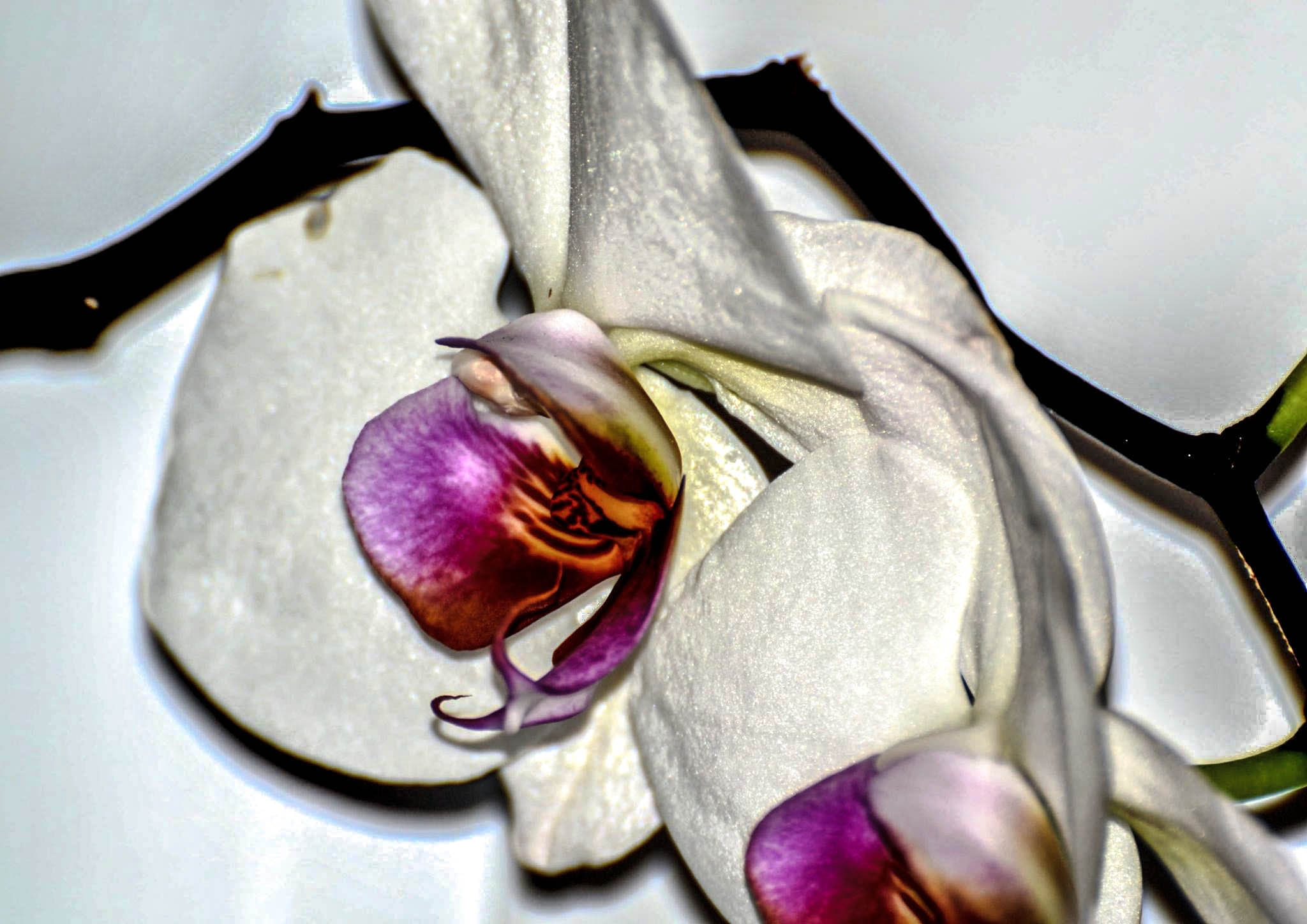Orchid by ilseBodewes
