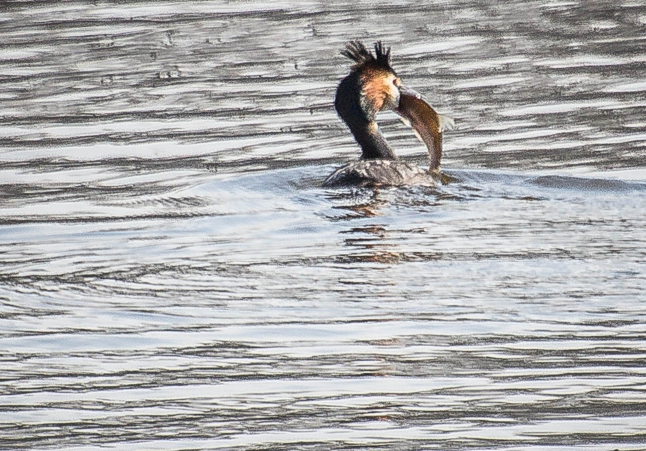 Grebe is eating a fish by ilseBodewes