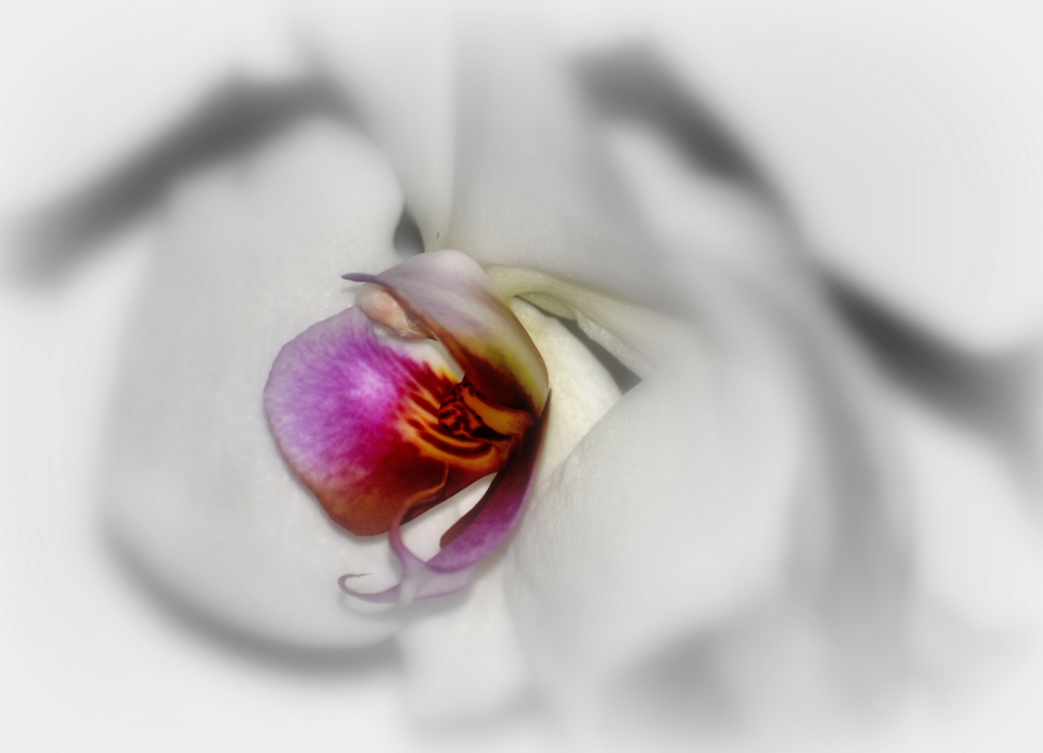 Orchidee by ilseBodewes
