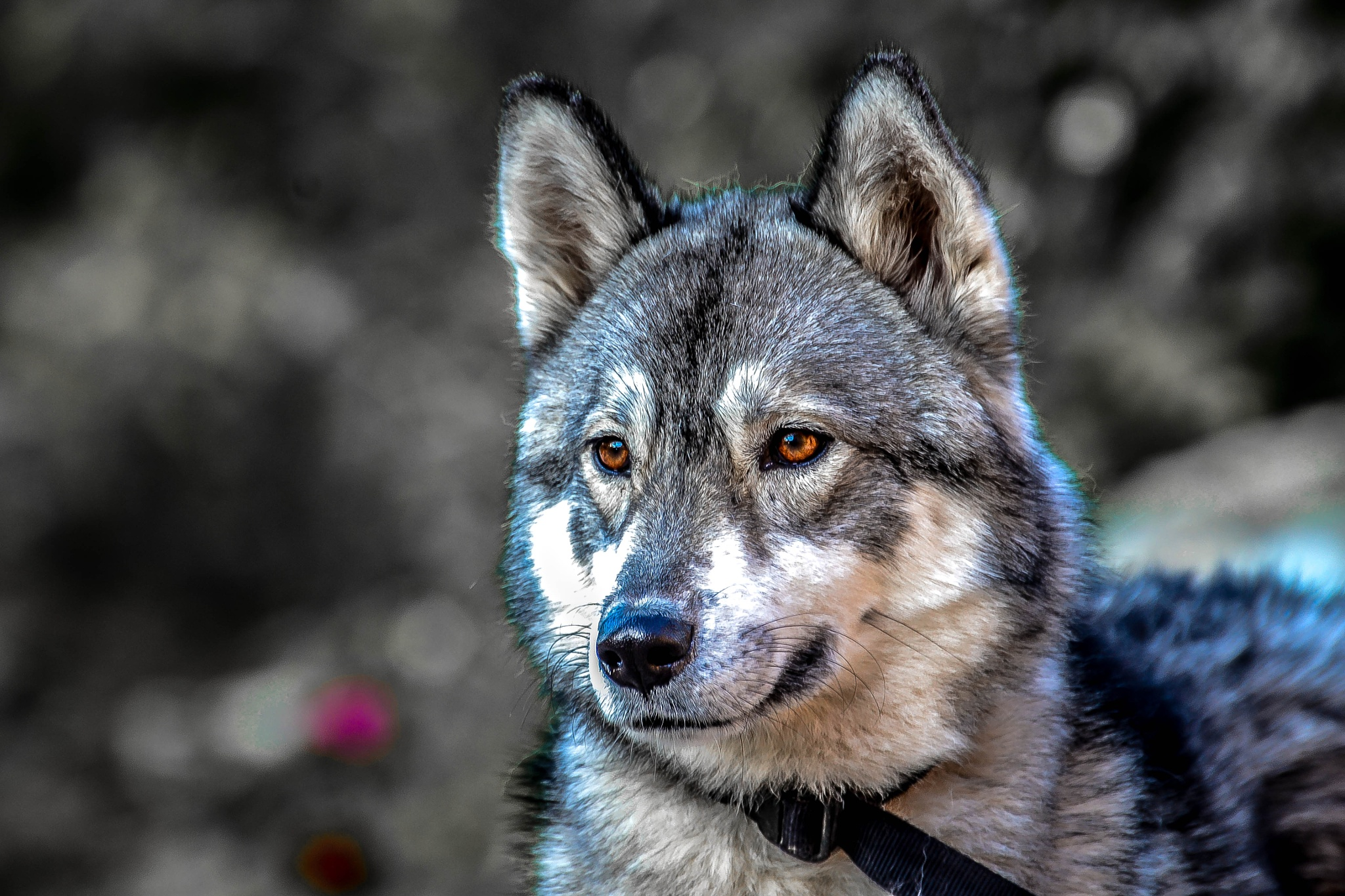 Huskey by ilseBodewes