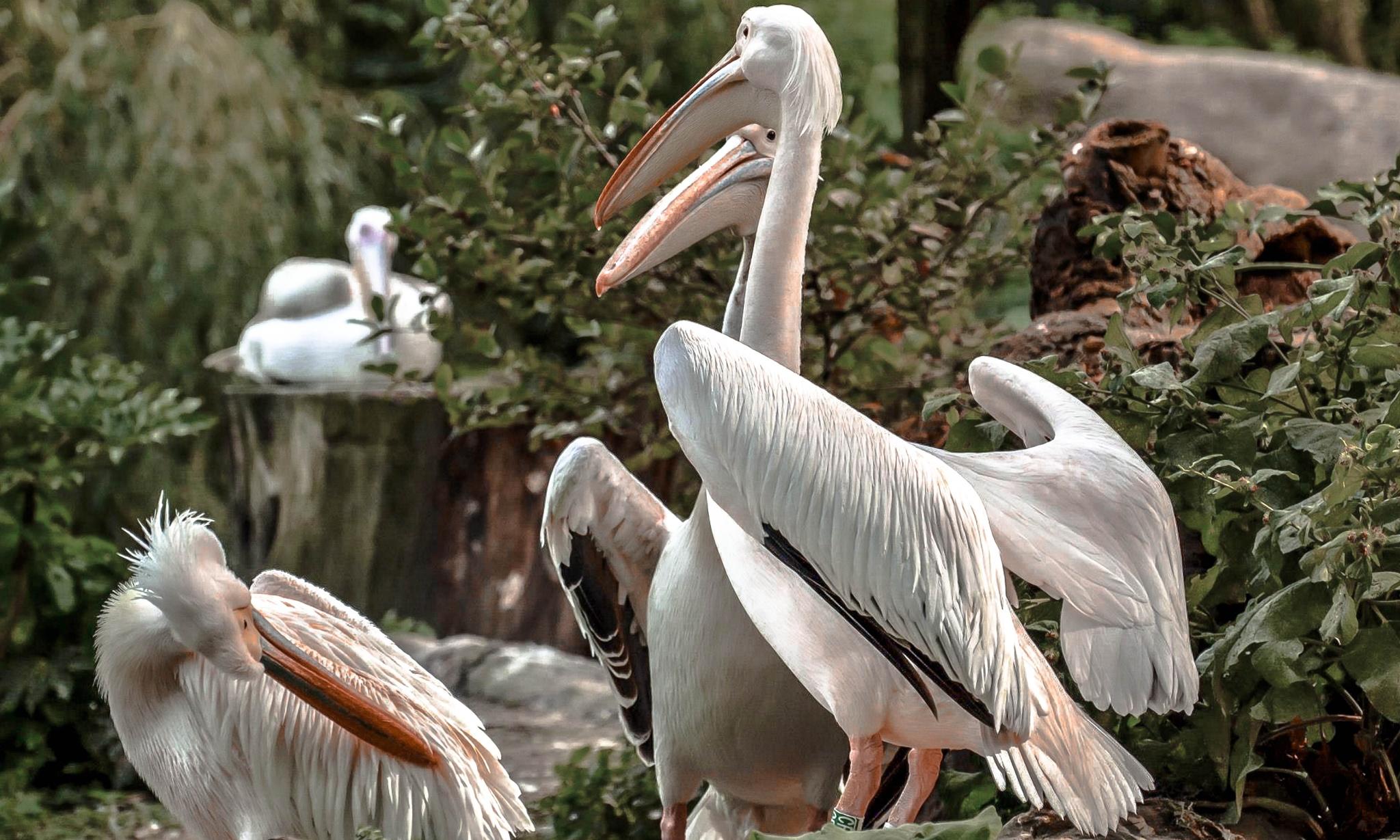 Pelikanen by ilseBodewes