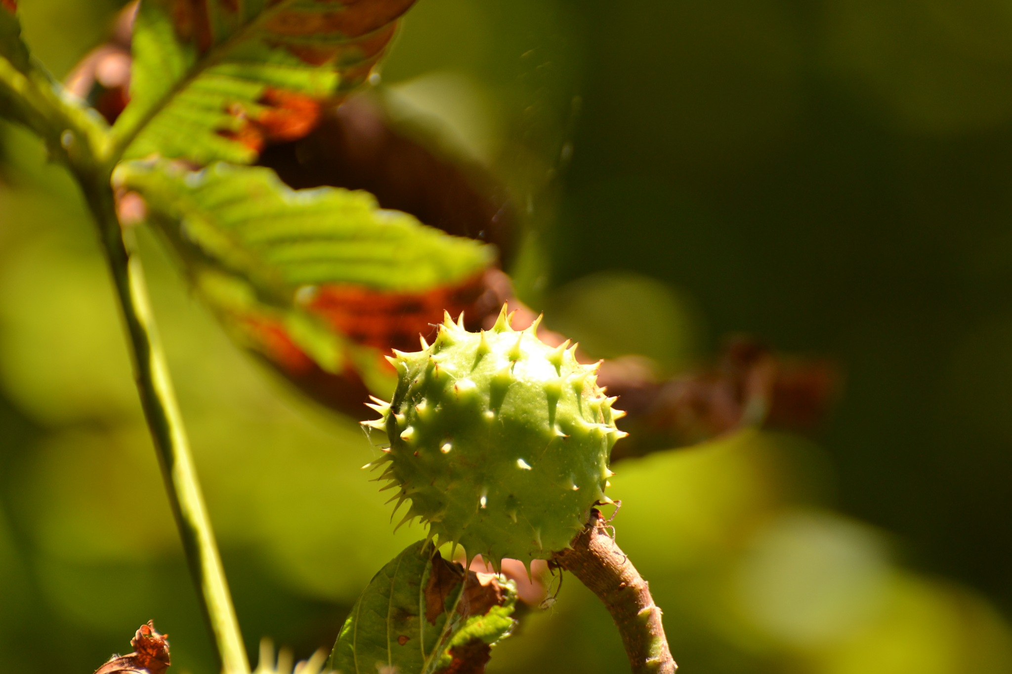 chestnut by ilseBodewes