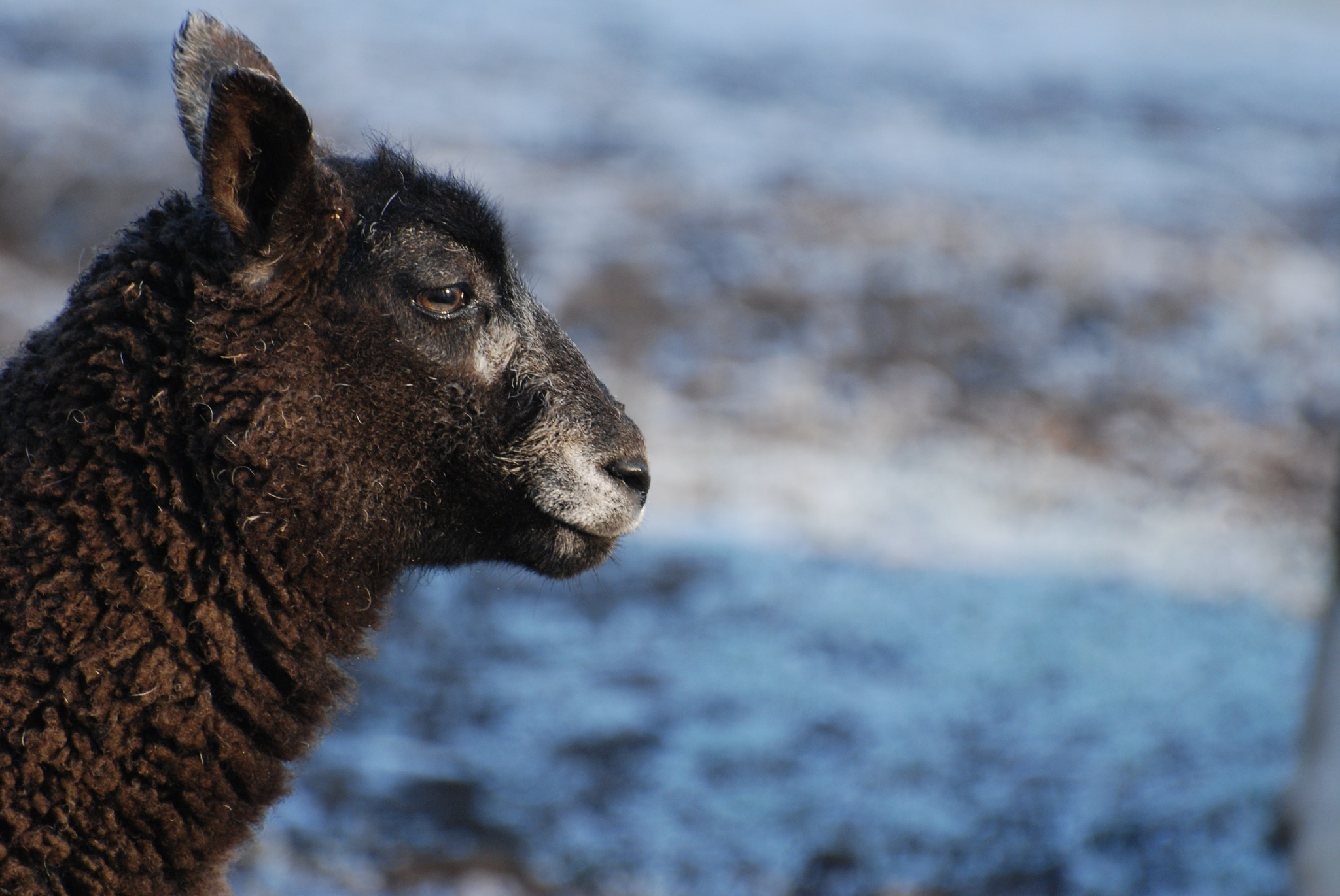 Sheep by ilseBodewes