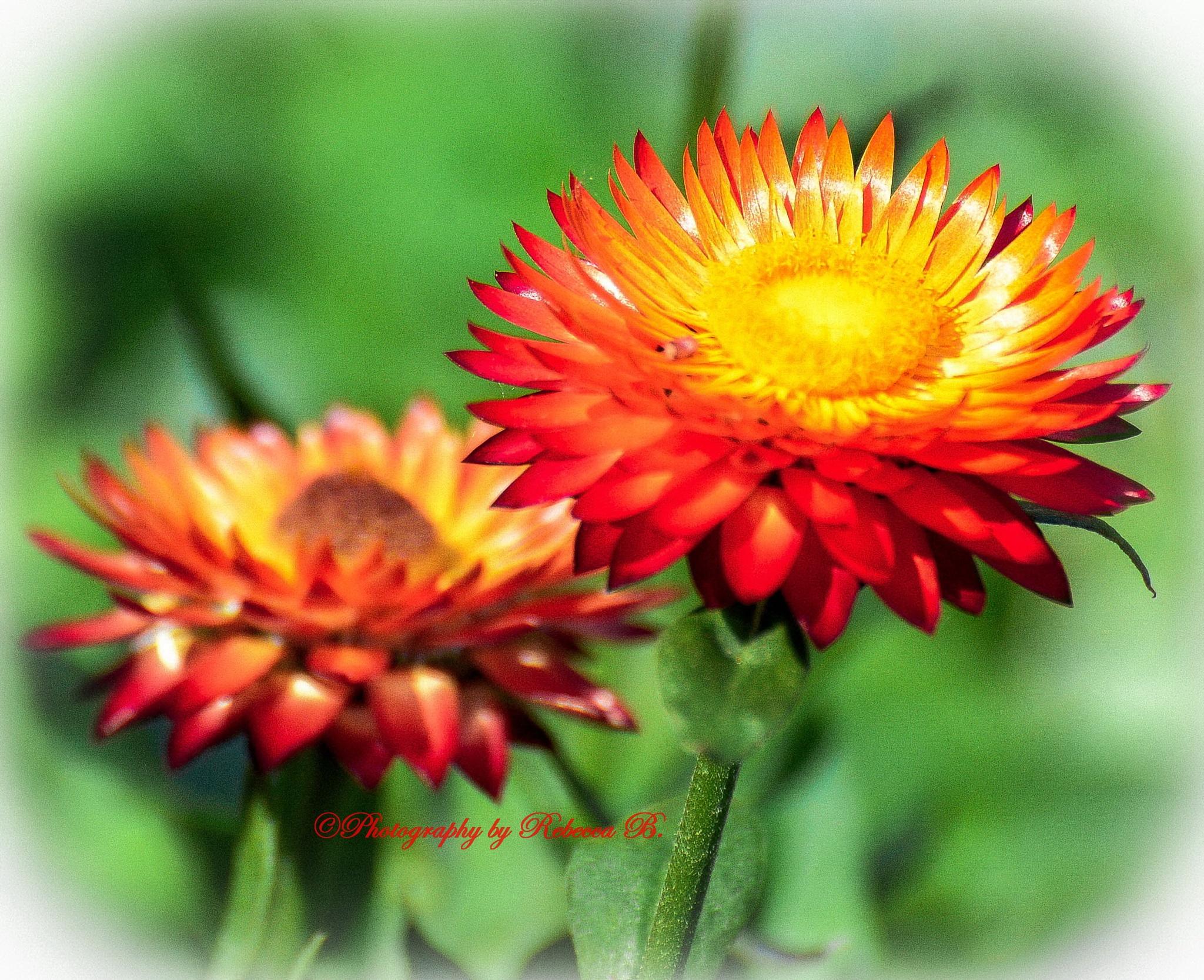 Straw Flower by Rebecca J.
