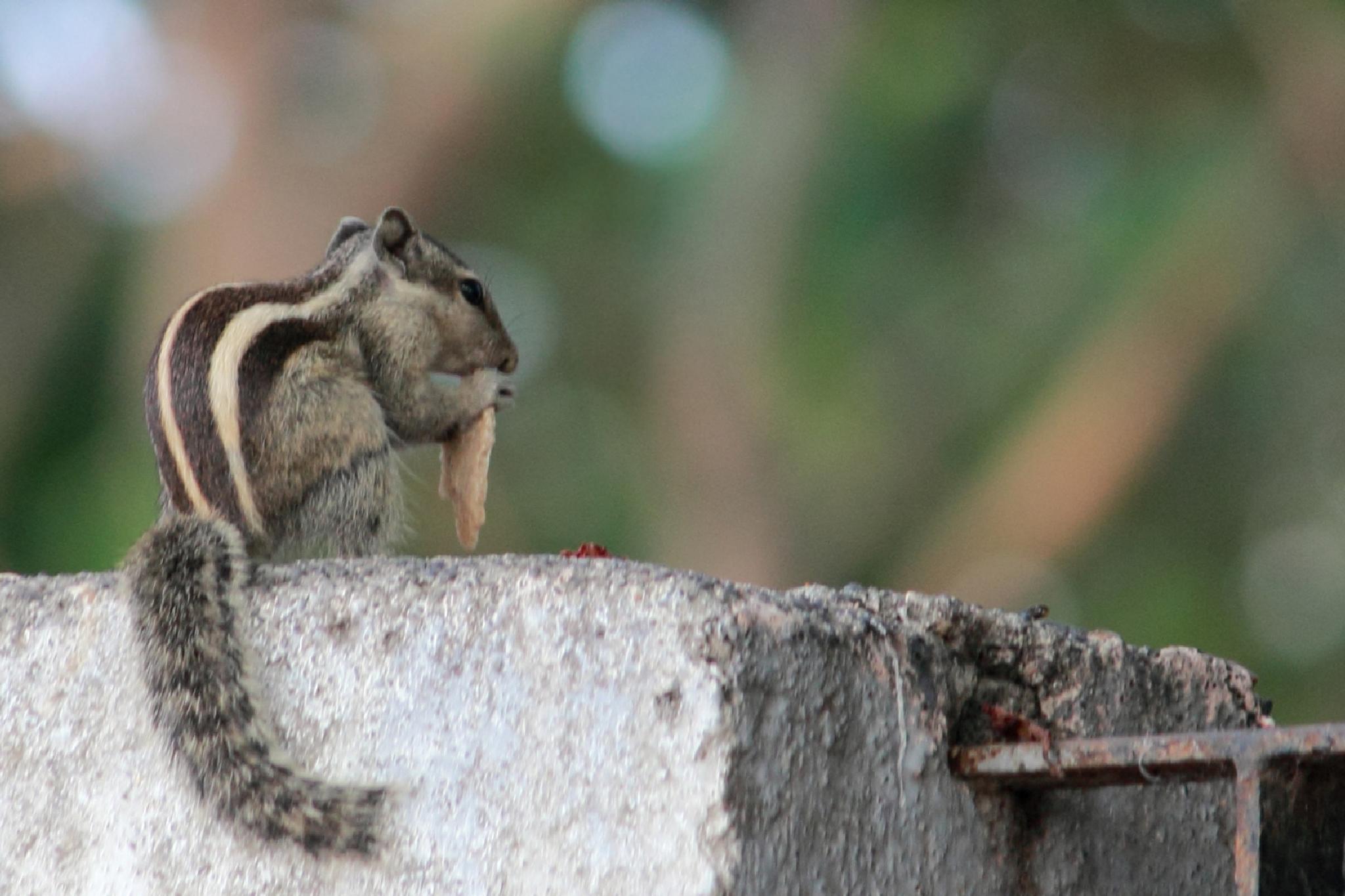 Squirrel  - surat by dipakmarfatia