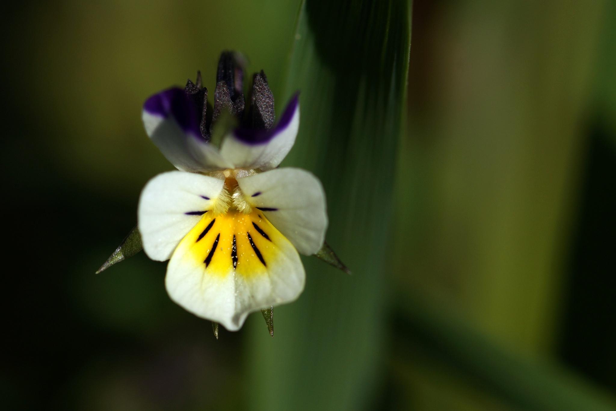 tiny wild flower by Hintermann