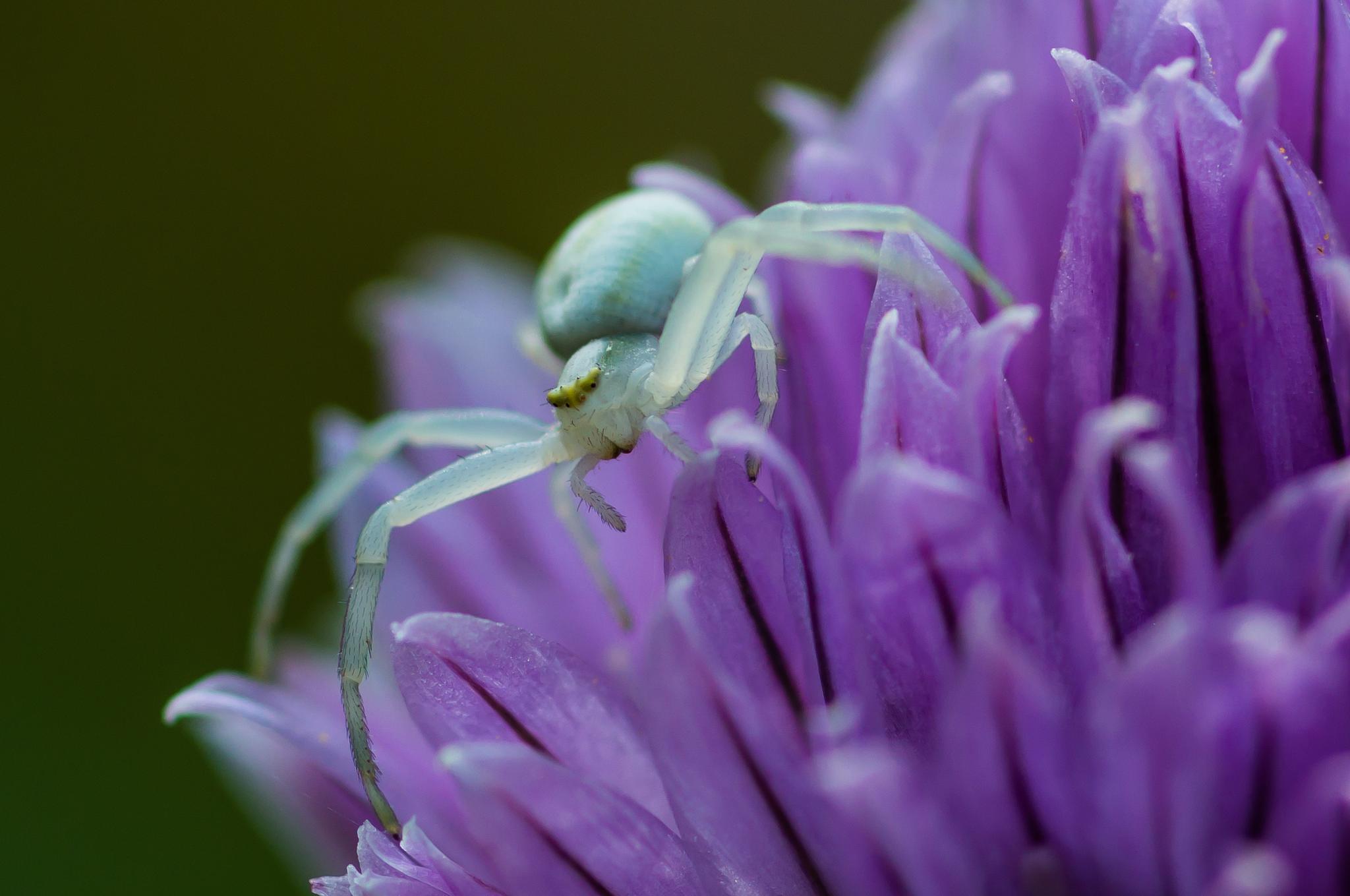 Crab Spider by Hintermann