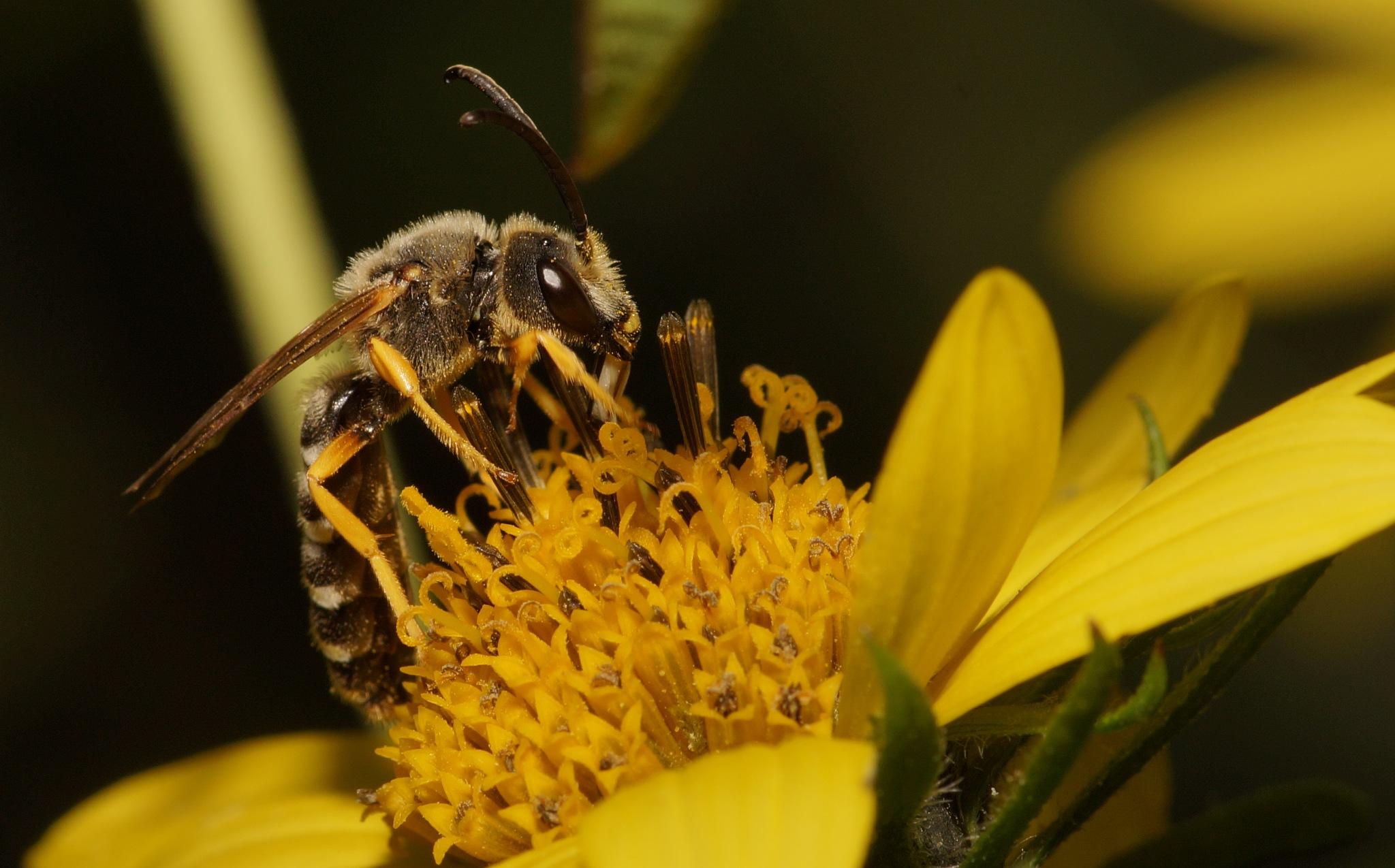 Bee on flower by Hintermann
