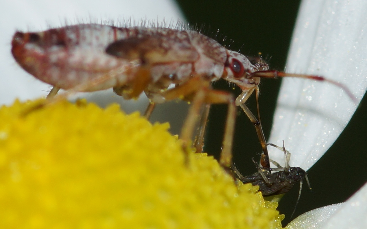 Bug larva eats the aphid by Hintermann