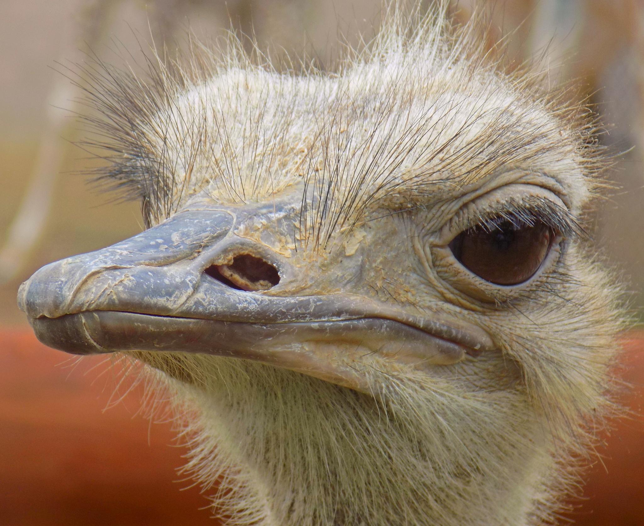 ostrich by Erin Elizabeth Gilbert