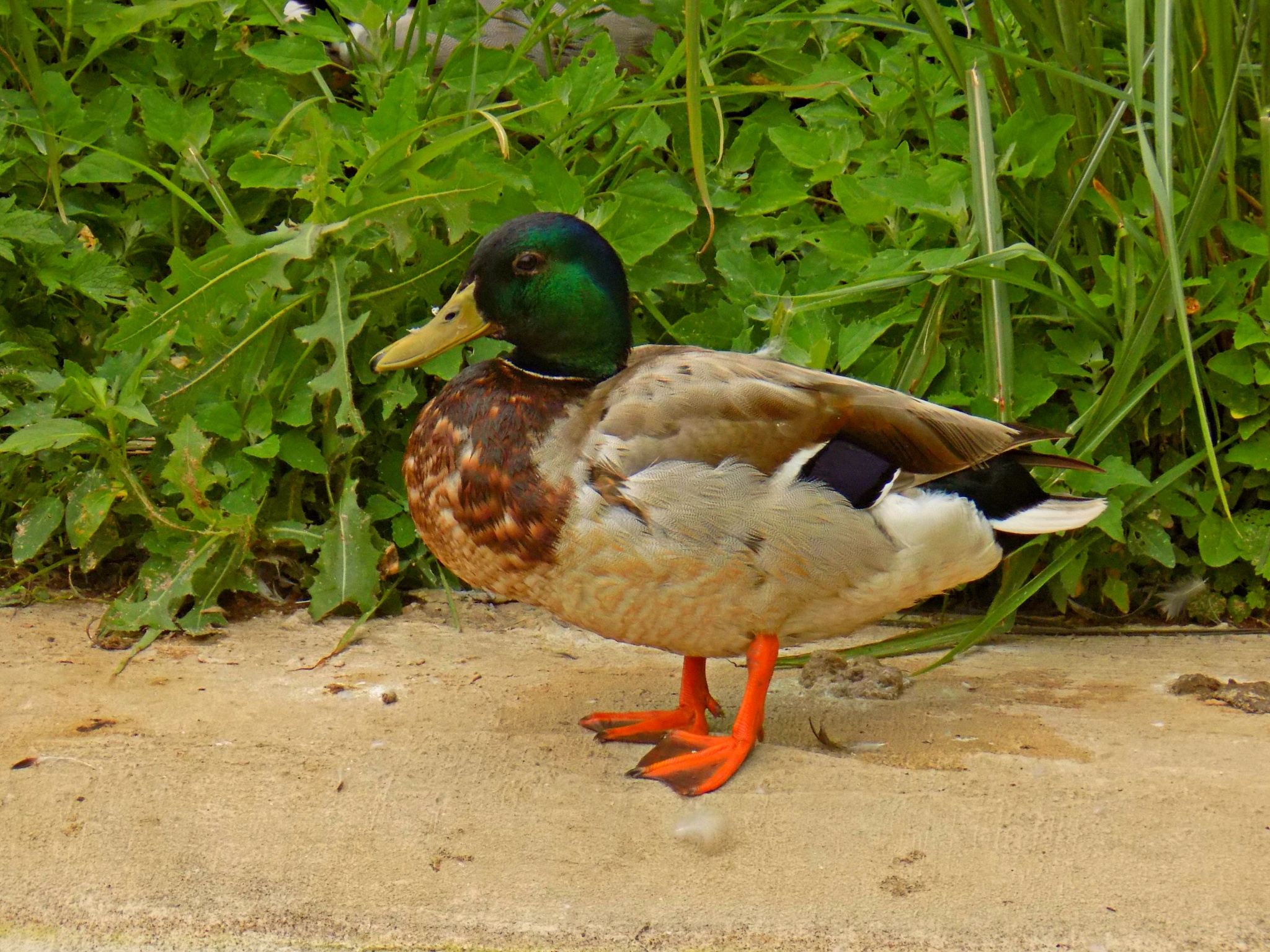 Duck by Erin Elizabeth Gilbert